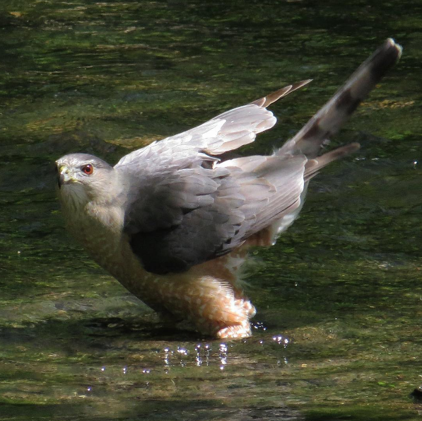 Cooper's Hawk. Photo: Michael Parker