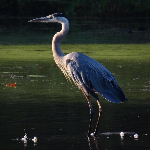 Great Blue Heron. Photo: MIchael Parker