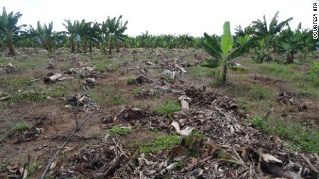 Fusarium TR4 threatens to wipe out global banana production in next 5-10 years