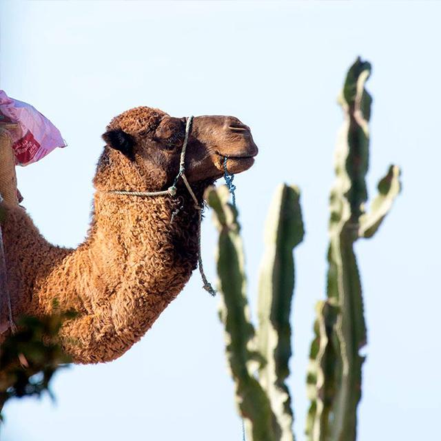 Camel & Horse Trekking