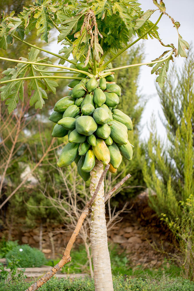 bbio-organic-papaya.jpg