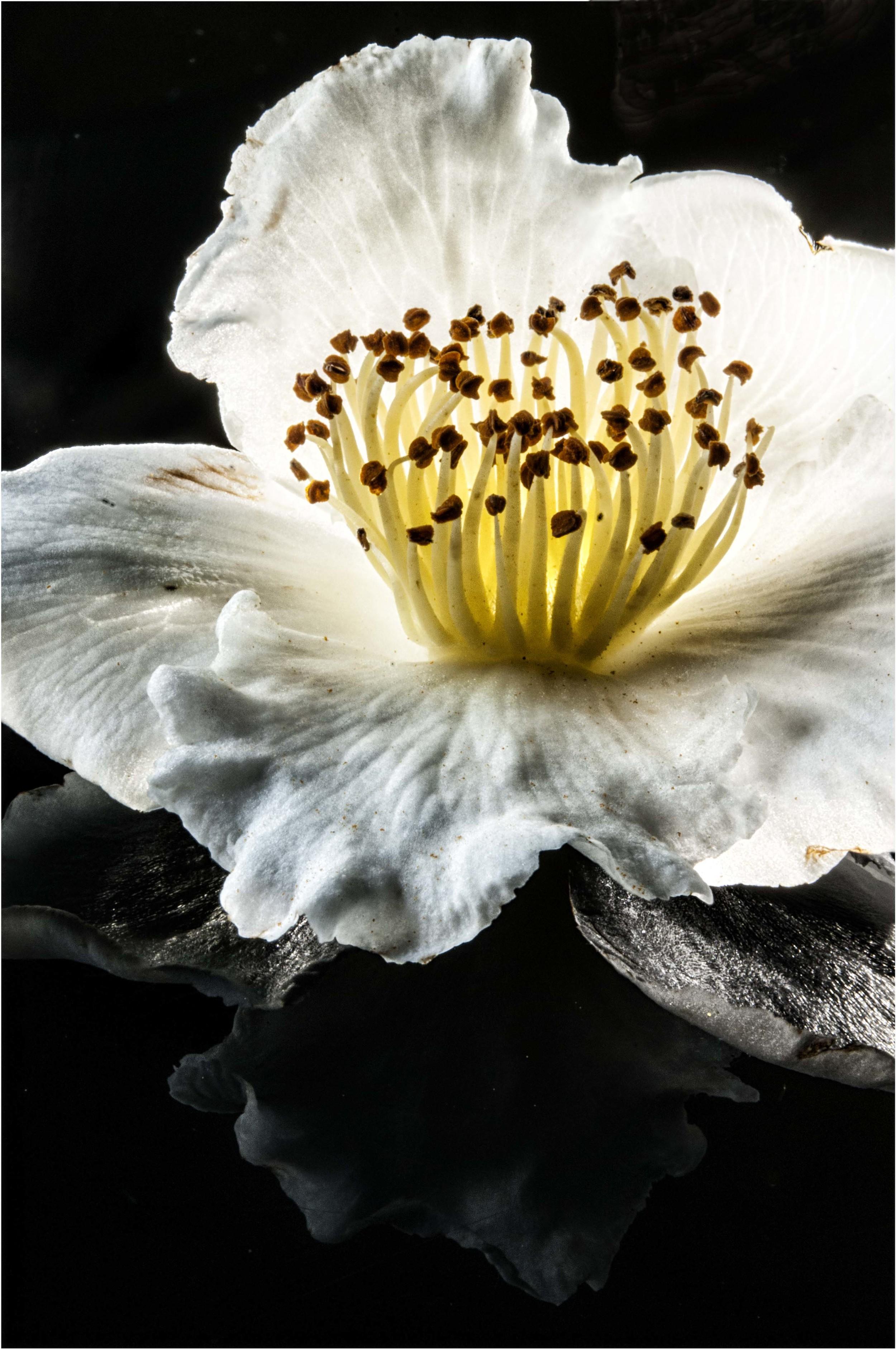 Fallen flower on black plexi
