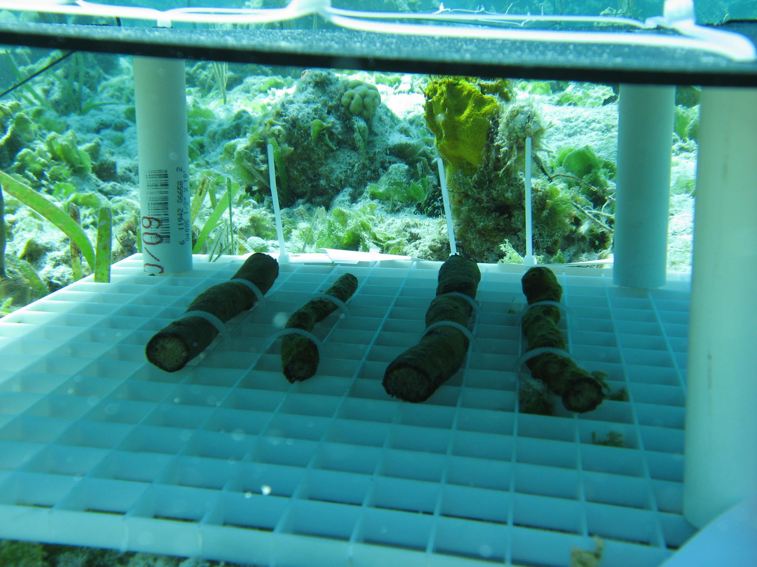 Shading experiment (shade or treatment canopy) in Bocas del Toro, Panama.