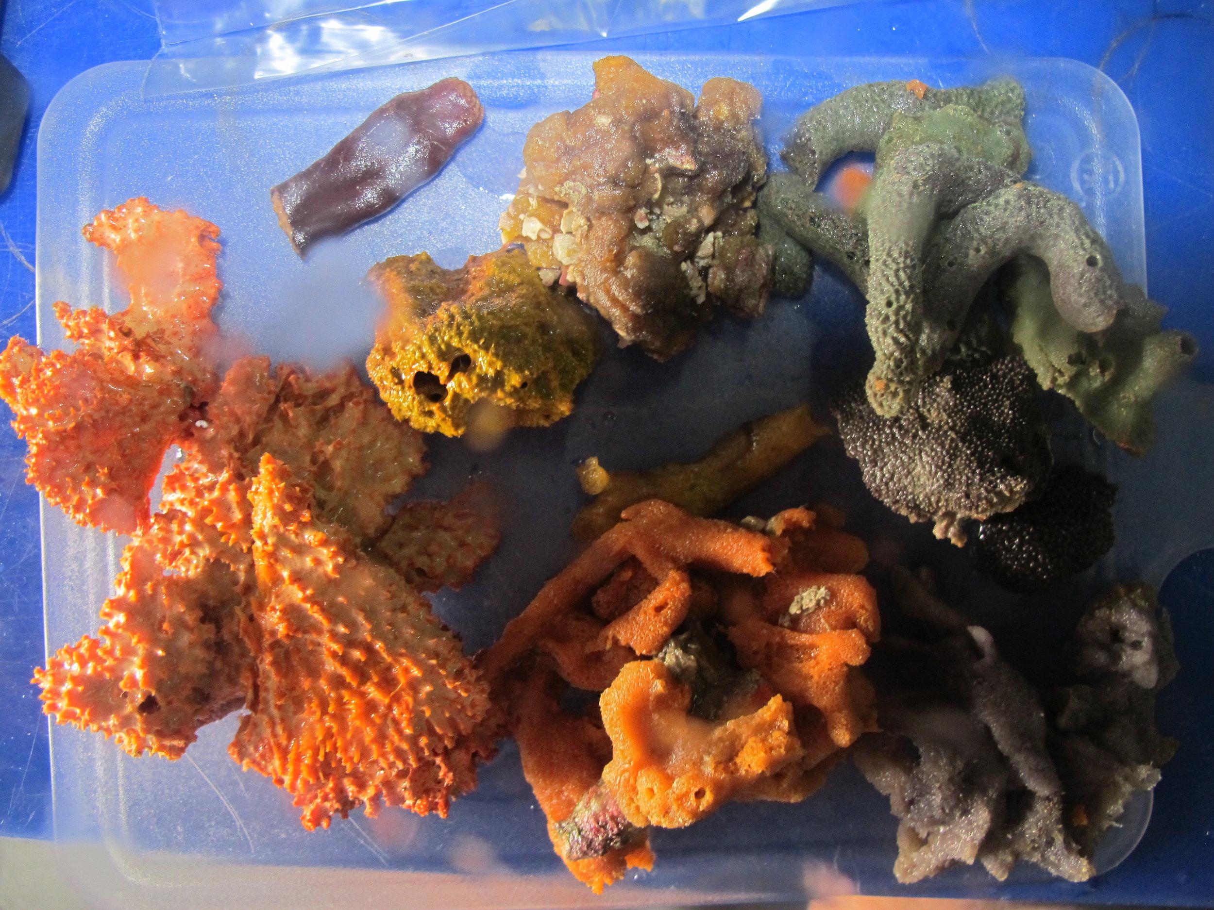 Burmese sponges