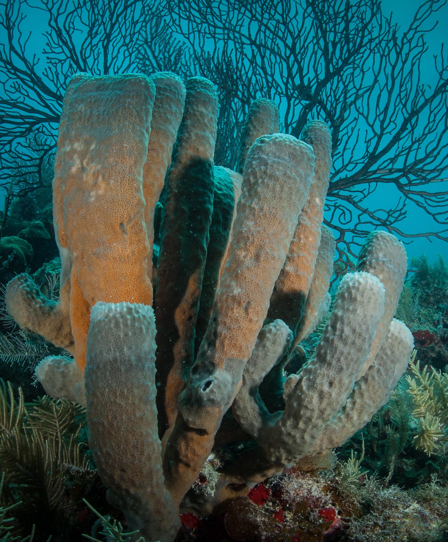 Caribbean tube sponge