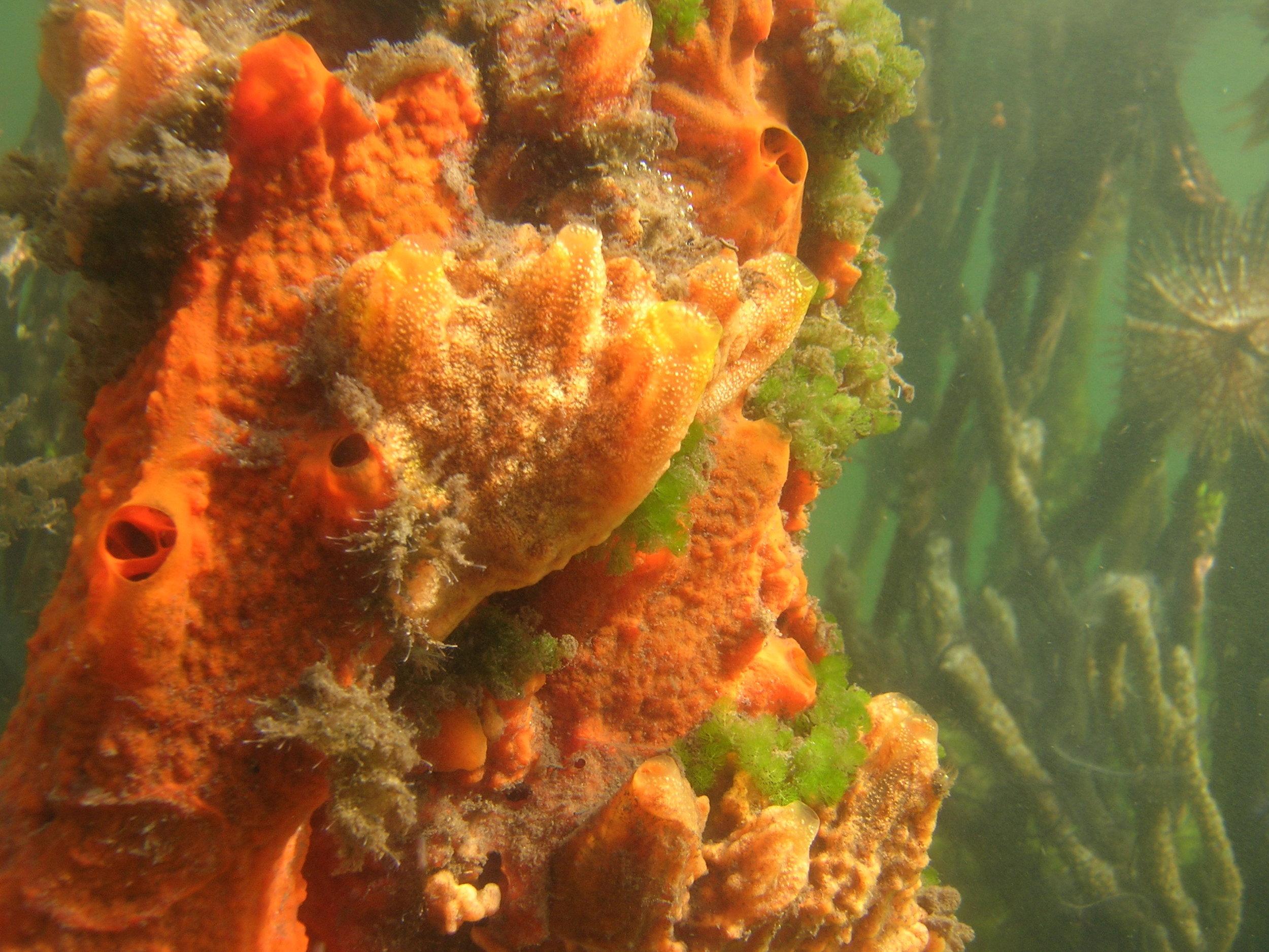 Mangrove sponges in Bocas del Toro, Panama