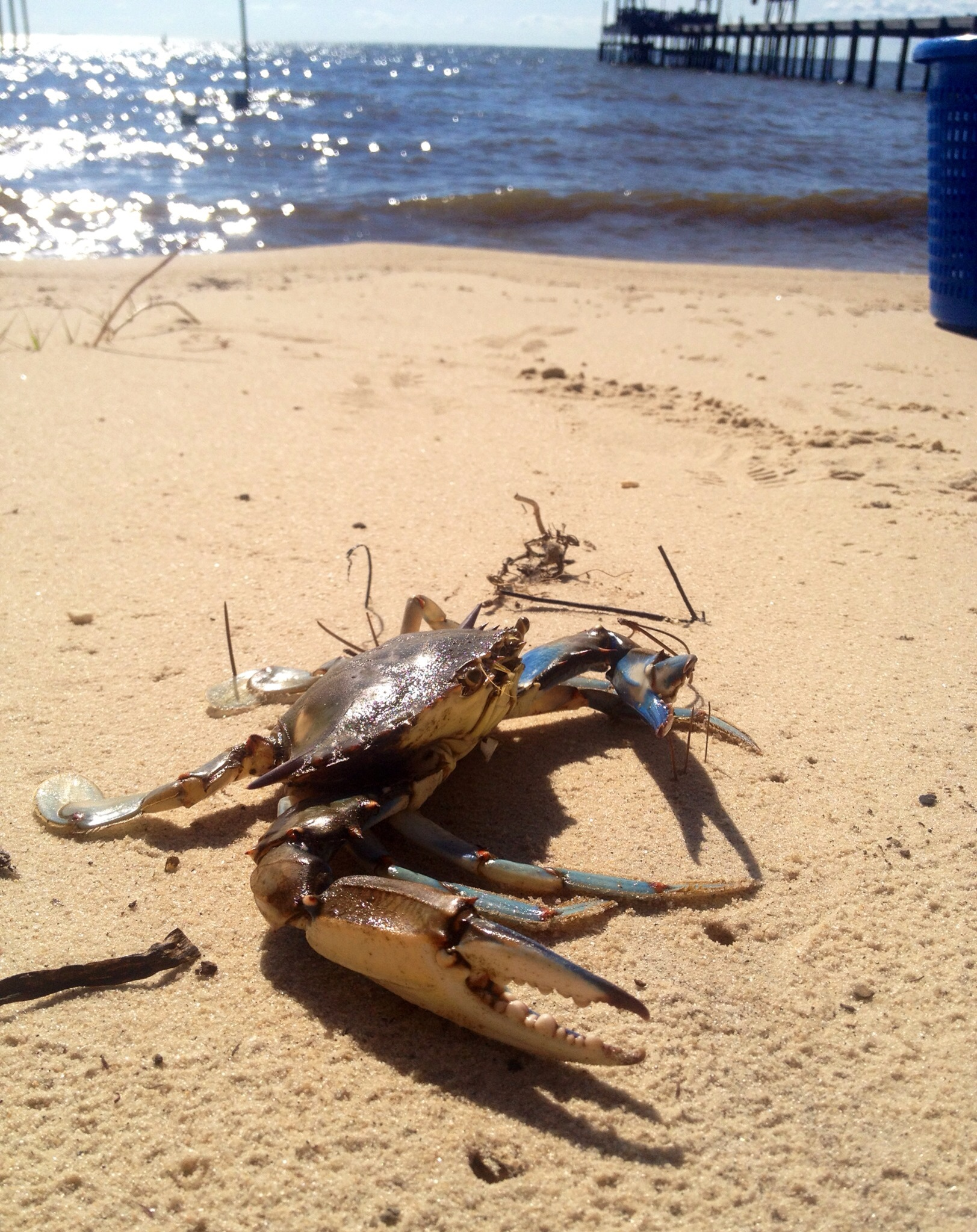 a beautiful blue crab on the beach in Lower Alabama