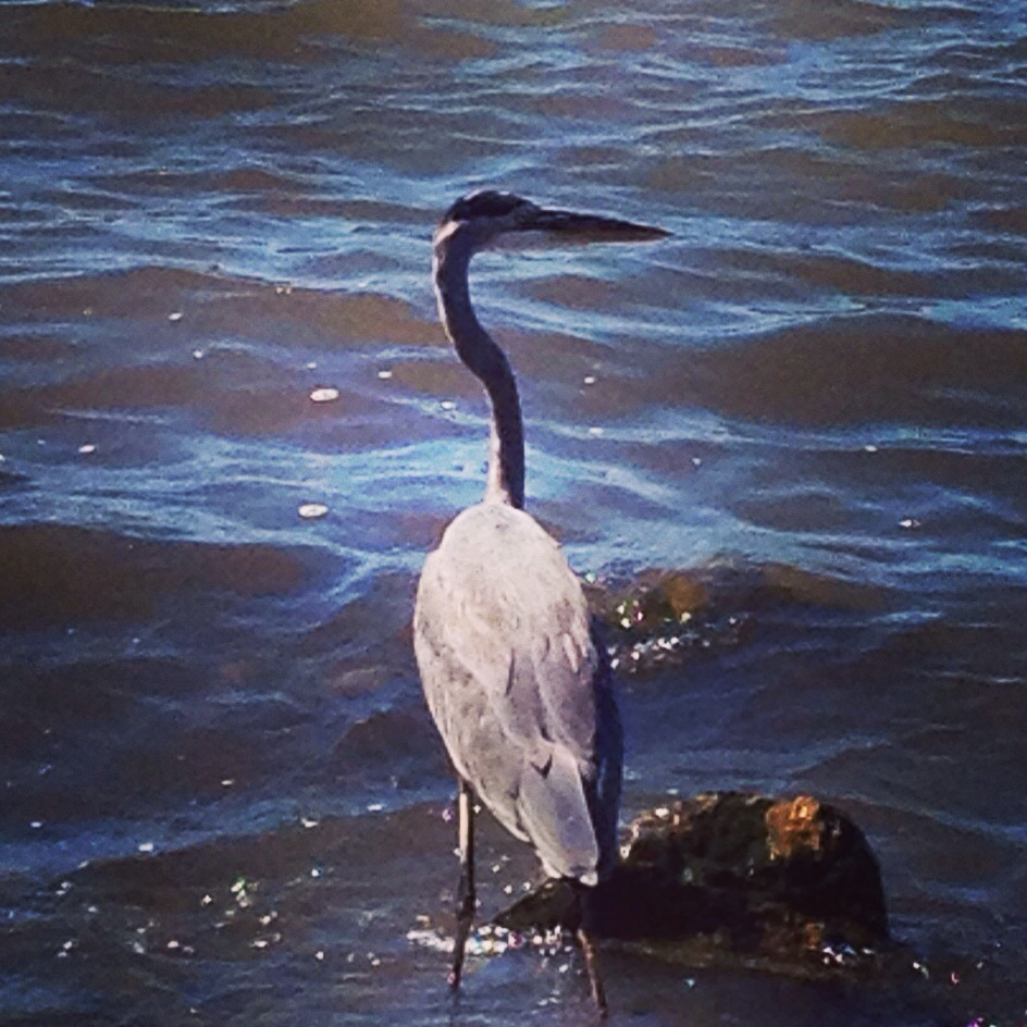 Blue heron perched on the shore of Mobile Bay, Alabama