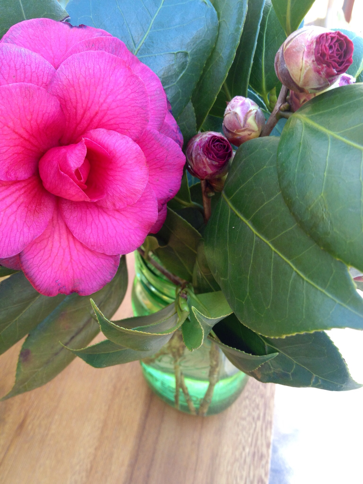 how to force Camellia buds to bloom indoors Martie Duncan
