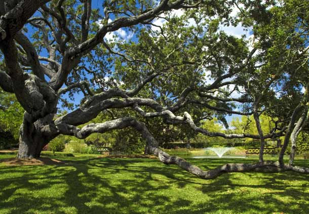 Live Oak Trees on the Grounds of the Grand Hotel