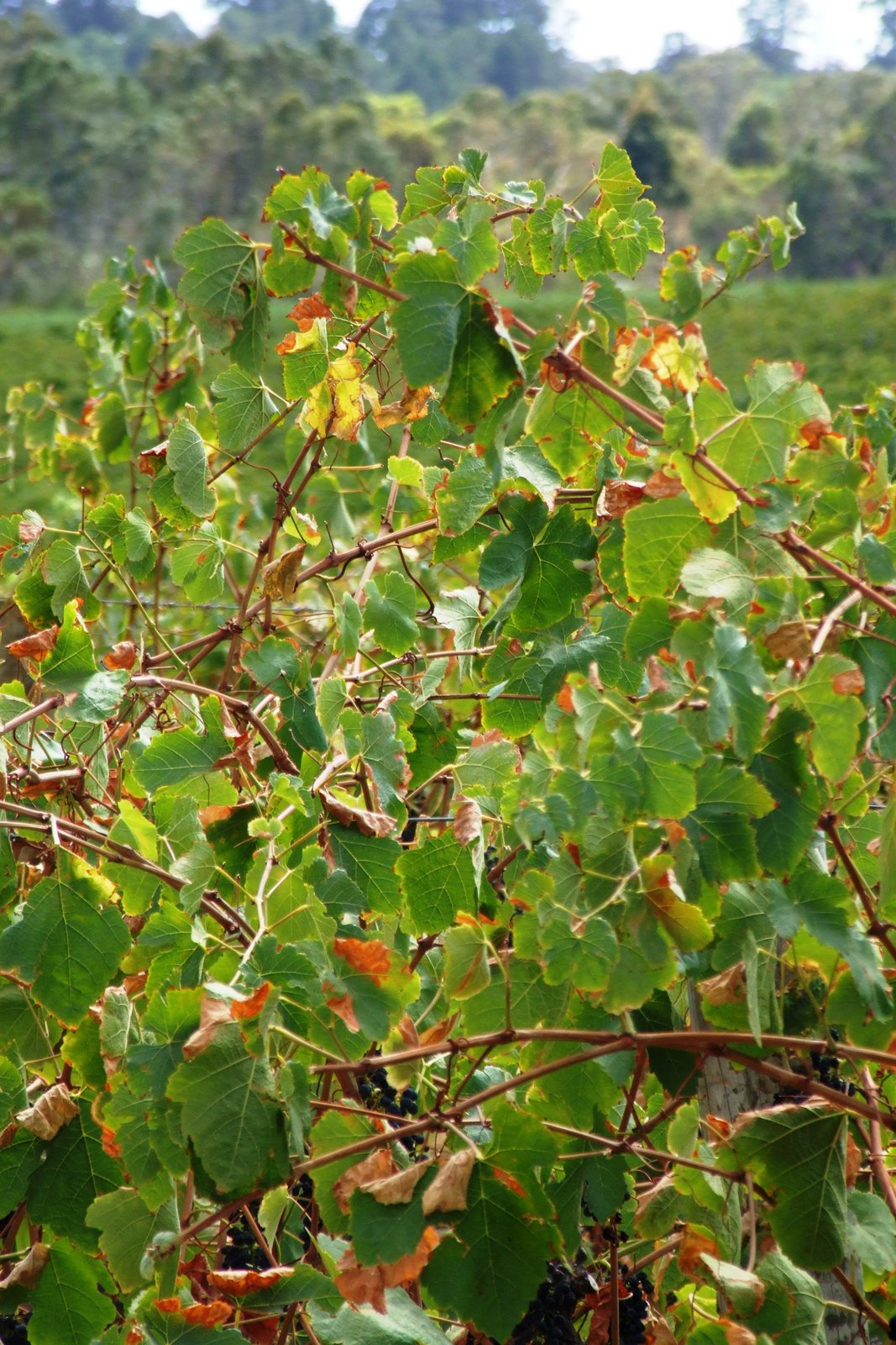 A vineyard with leaf scorching at the point of harvest (E-L 38).