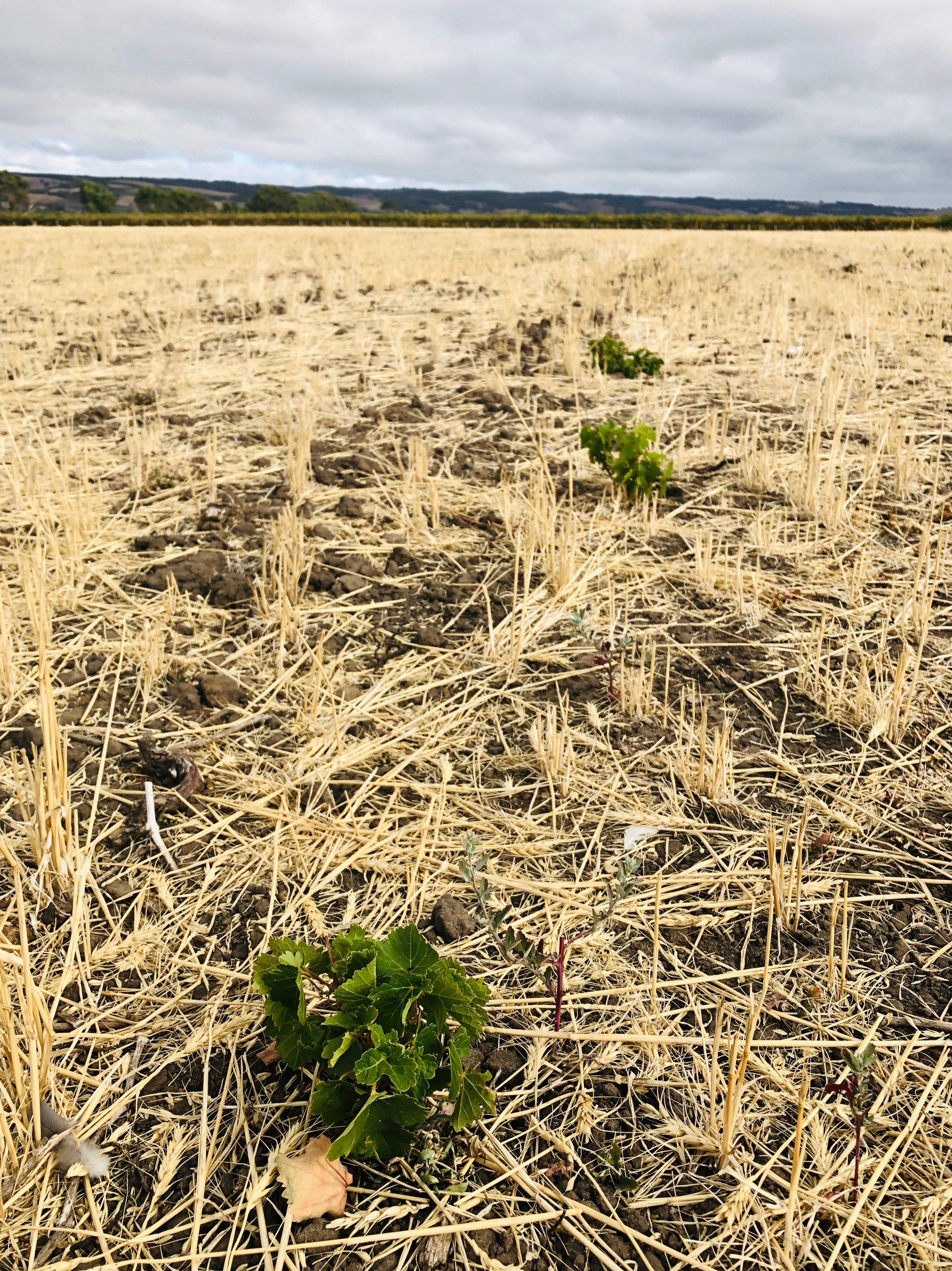 A field left fallow that has some vines that have survived from root fragments.