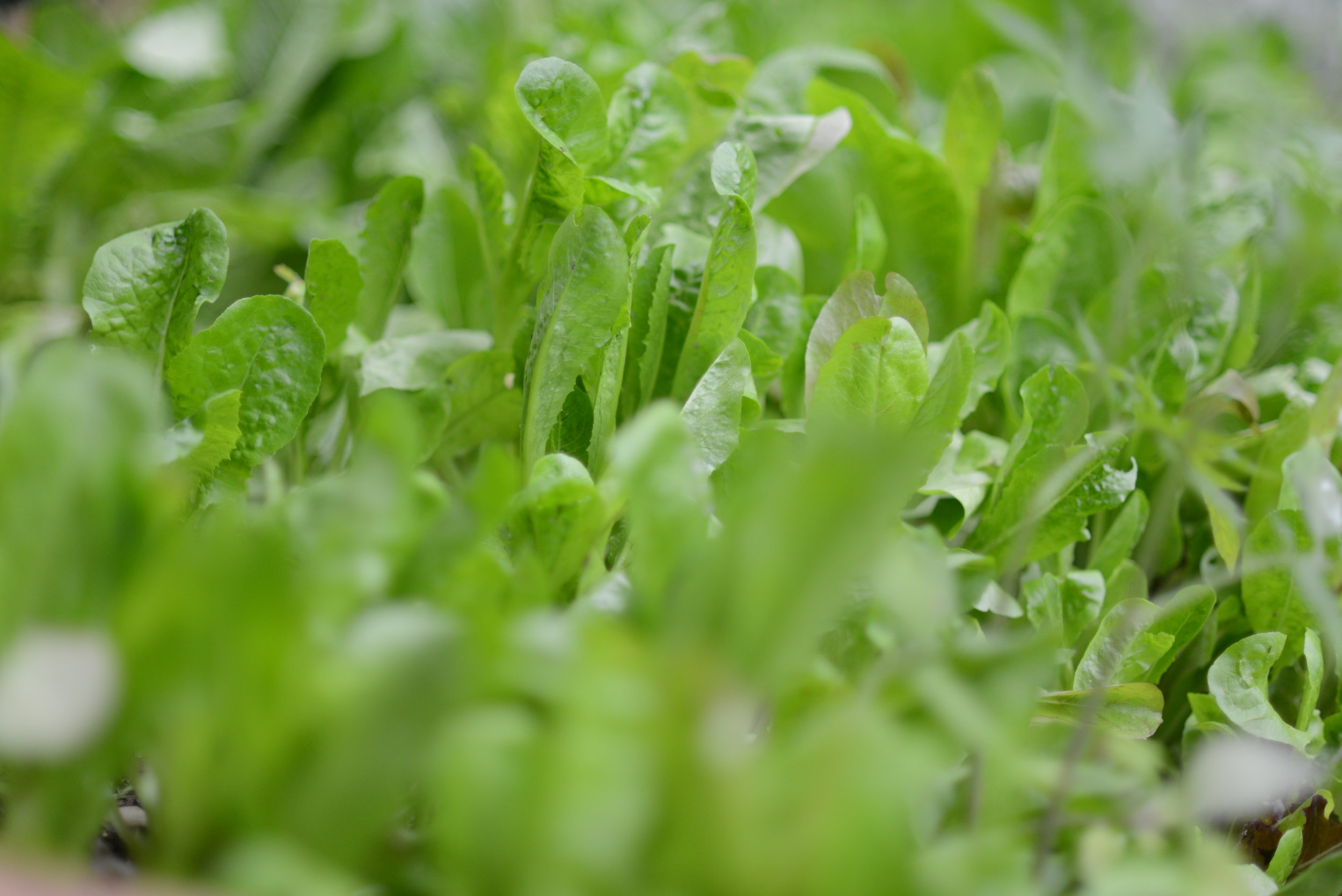 Can you see the lettuce through the leaves?