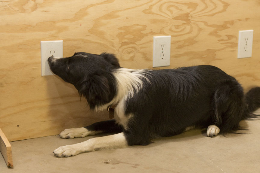 Maggie working a training exercise. Vials containing live bed bugs are placed behind one of the three outlets. You can see in this photo that she has found the scent on the far left outlet. Her alert is to place her nose directly on the outlet and not move, no scratching, no movement, no barking.