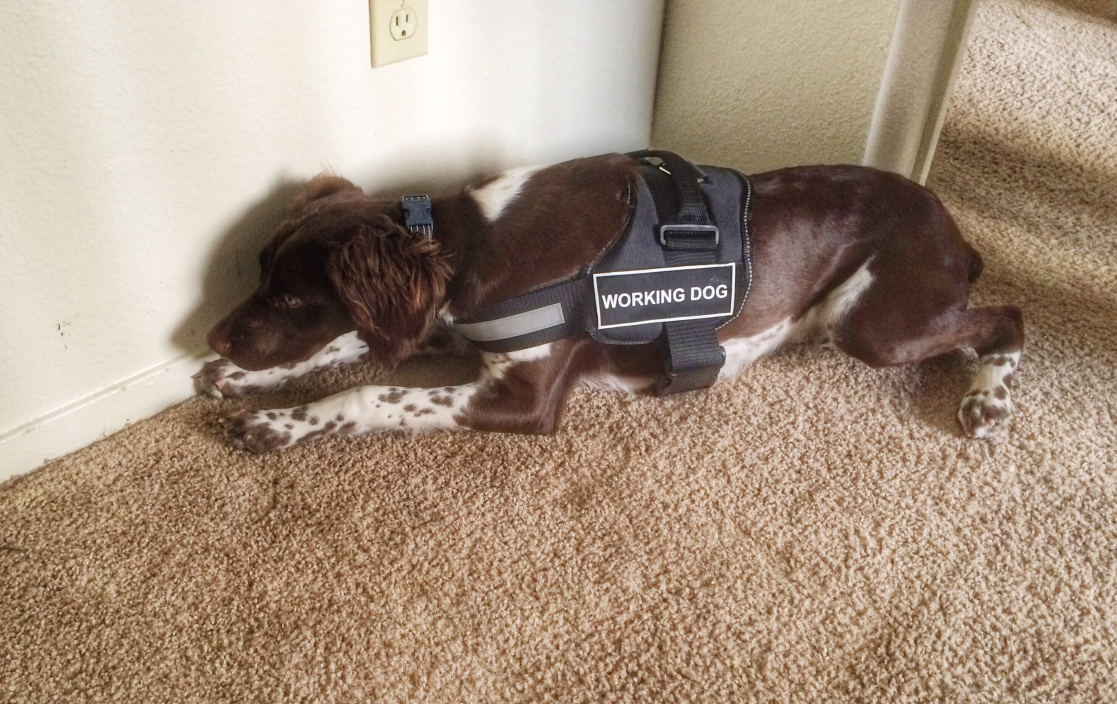 During Hunter's training he was able to ride along with our older certified teams. He is pictured alerting on bed bugs along a baseboard in a vacant unit during one of these outings.