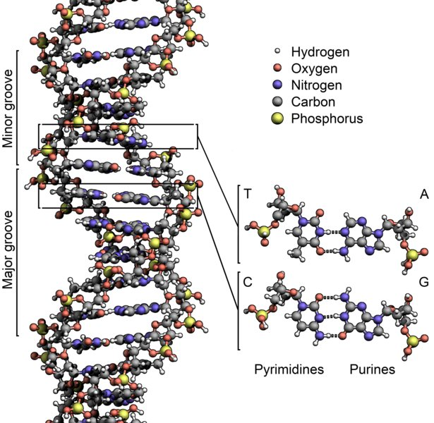 "Figure 3: The structure of DNA. The pairs of bases, A-T, and G-C form the rungs of the double-helix ""ladder."" Credit: Wikimedia Commons."