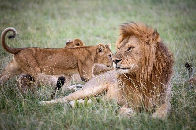 It's great to see adult male lions with their offspring, as it is a moment of dichotomy visually: young, curious and playful, contrasted against powerful, confident, staid and solemn. #safari #lion #pride #wildlife #animals #nature