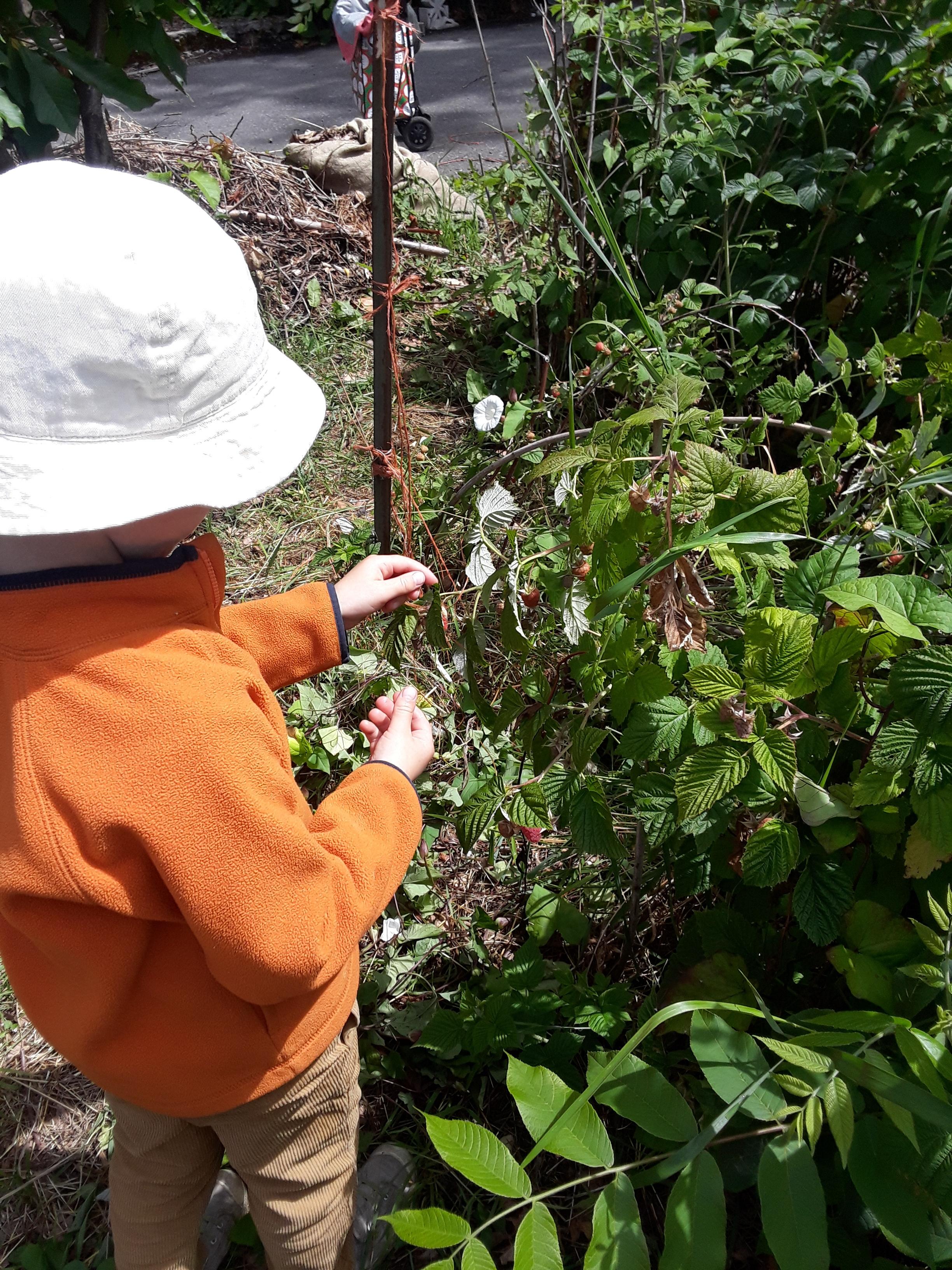 raspberry picking 1.jpg