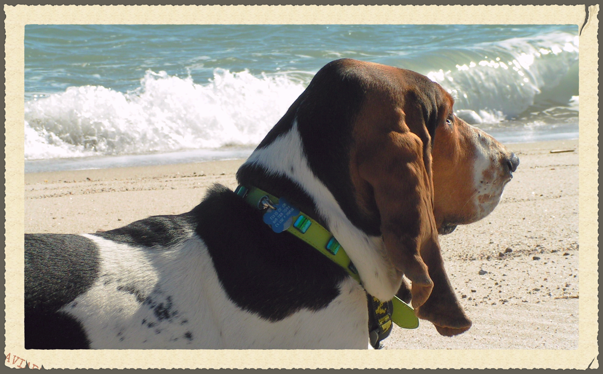 Elvis the surf basset on vacation in Mexico. We're fresh out of pictures of this dog man surfing in England
