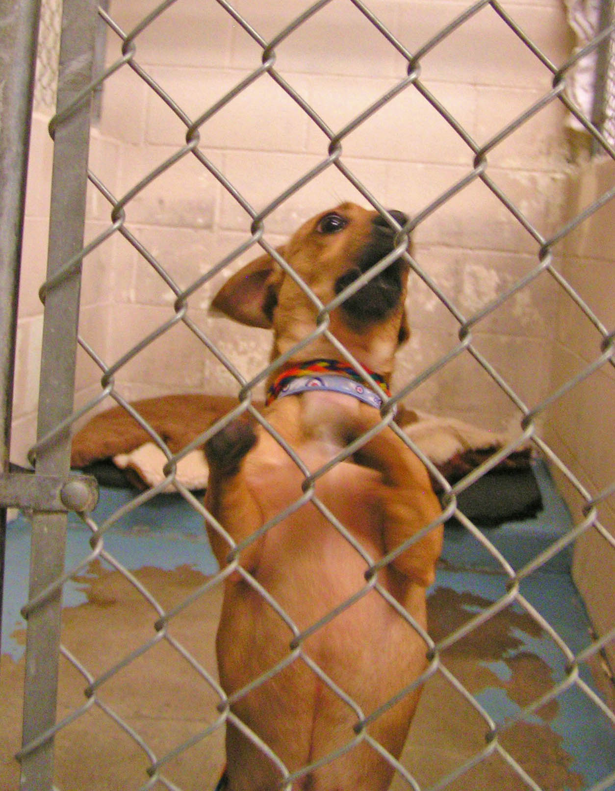 The mini Mighty doxie on the day we met at an Oregon animal shelter January 21, 2011