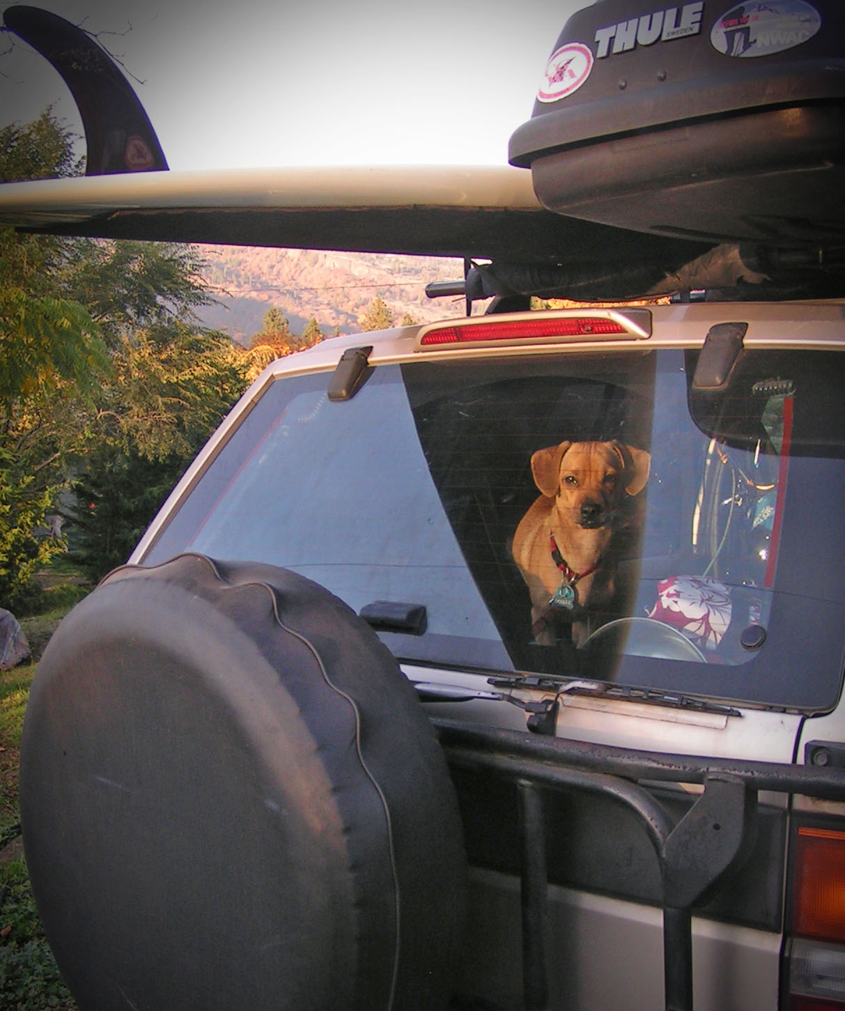 Doodle, the dinky doxie is a rad surf dude- but the rescue dog didn't start out that way