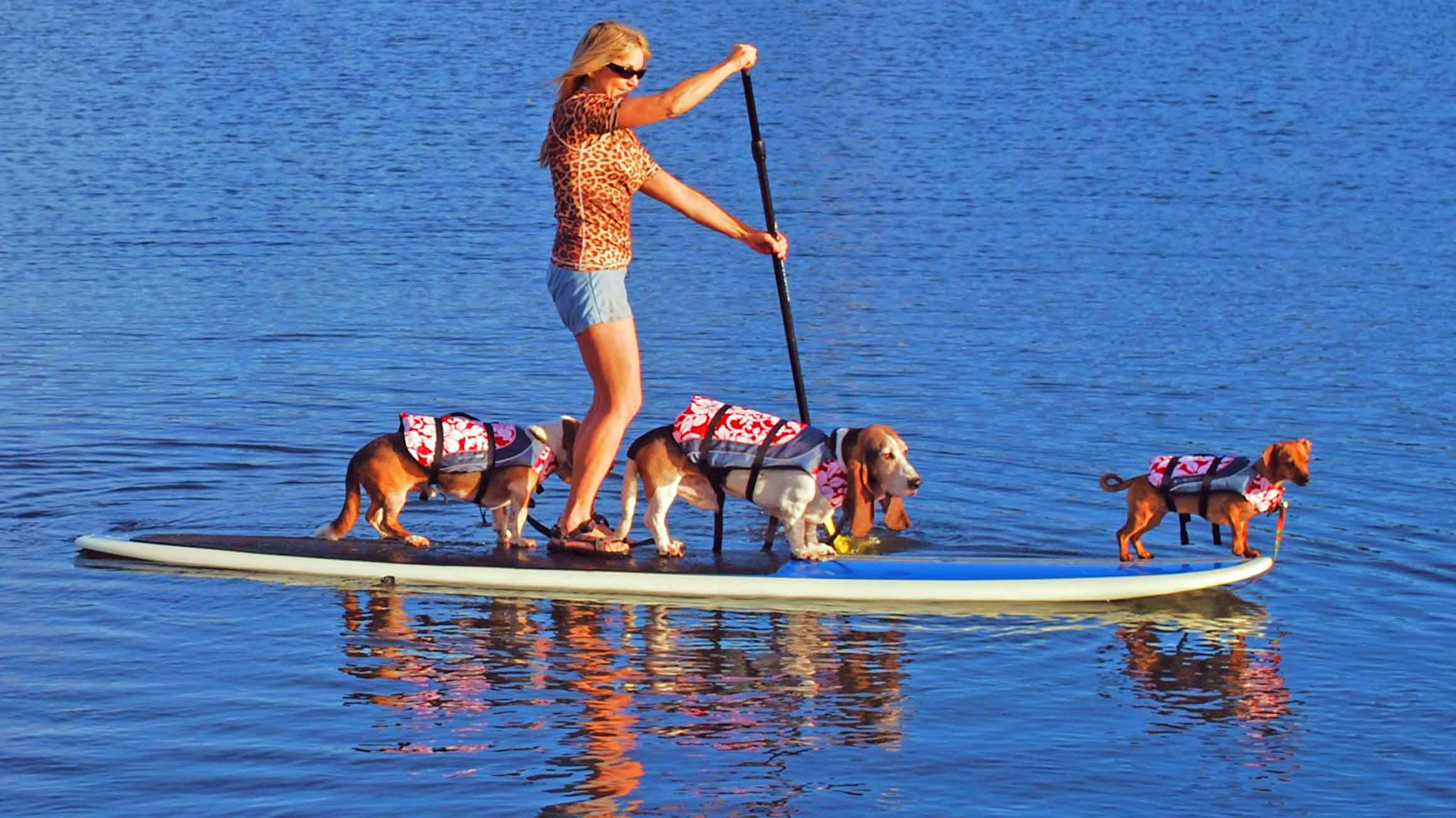Here we are, SUP pups in Hood River, Oregon on the Columbia River. Our family, the  Dog Diary  team, with me on the nose, of course. We just lost Elvis in May so we're only a 2 pup SUP team now. We carry him with us wherever we go.  Photo copyright Barb Ayers DogDiary.org