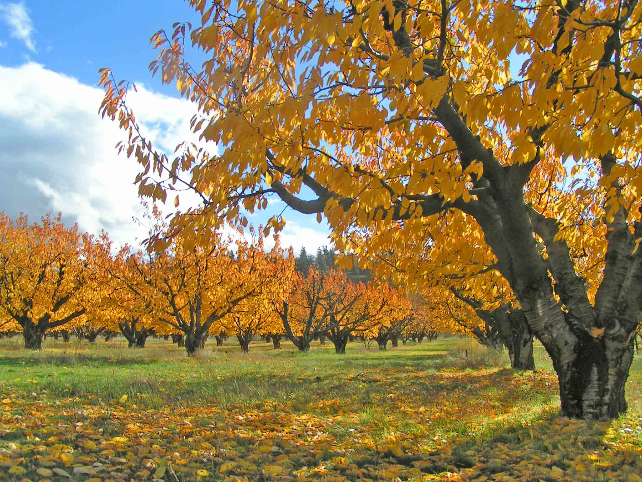 Fall leaves in our Gorge  farming community.                               Photo: (c) Barb Ayers Dog Diary.org