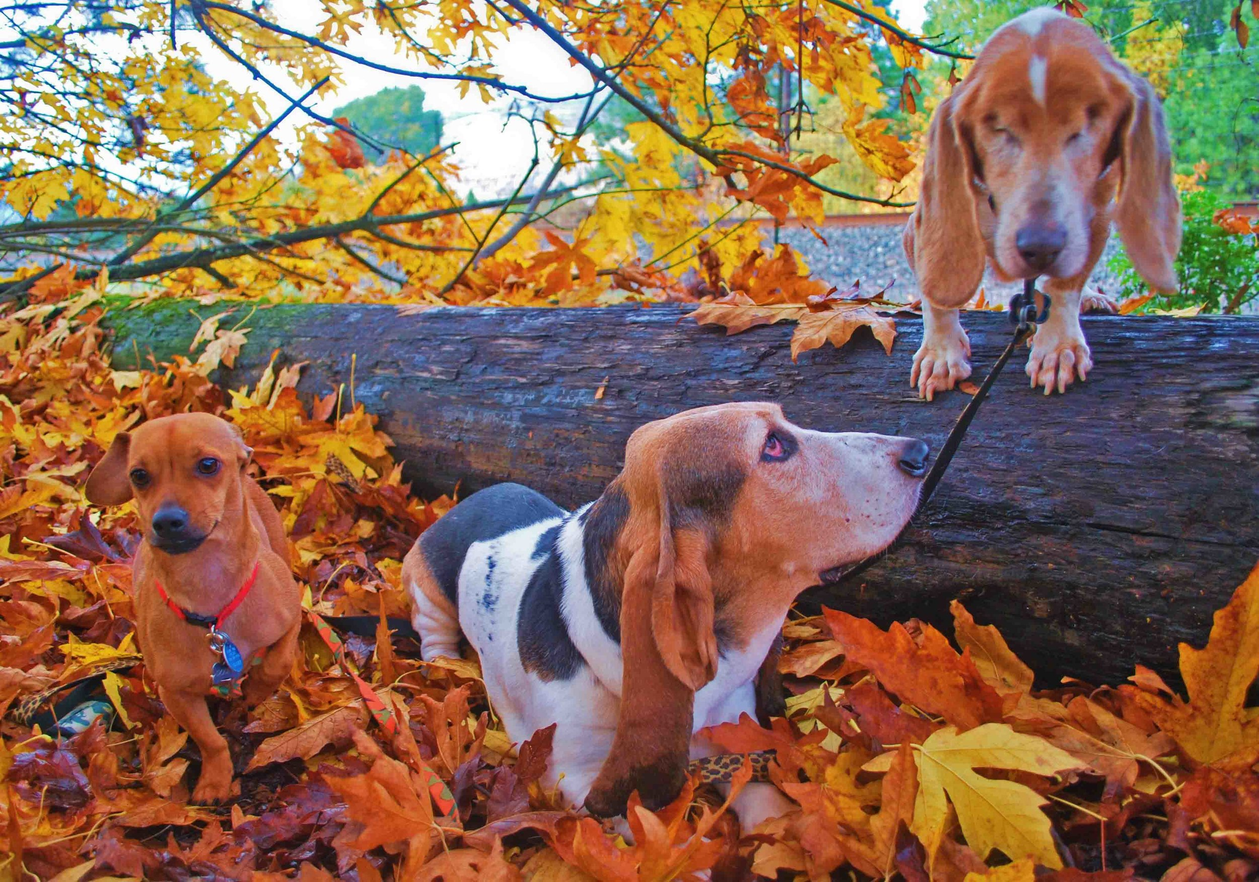 Our surf dog family last fall - before we lost my basset brother Elvis in May. We miss him this leaf season. Don't take a moment of life for granted. Photo: (c) Barb Ayers, DogDiary.org
