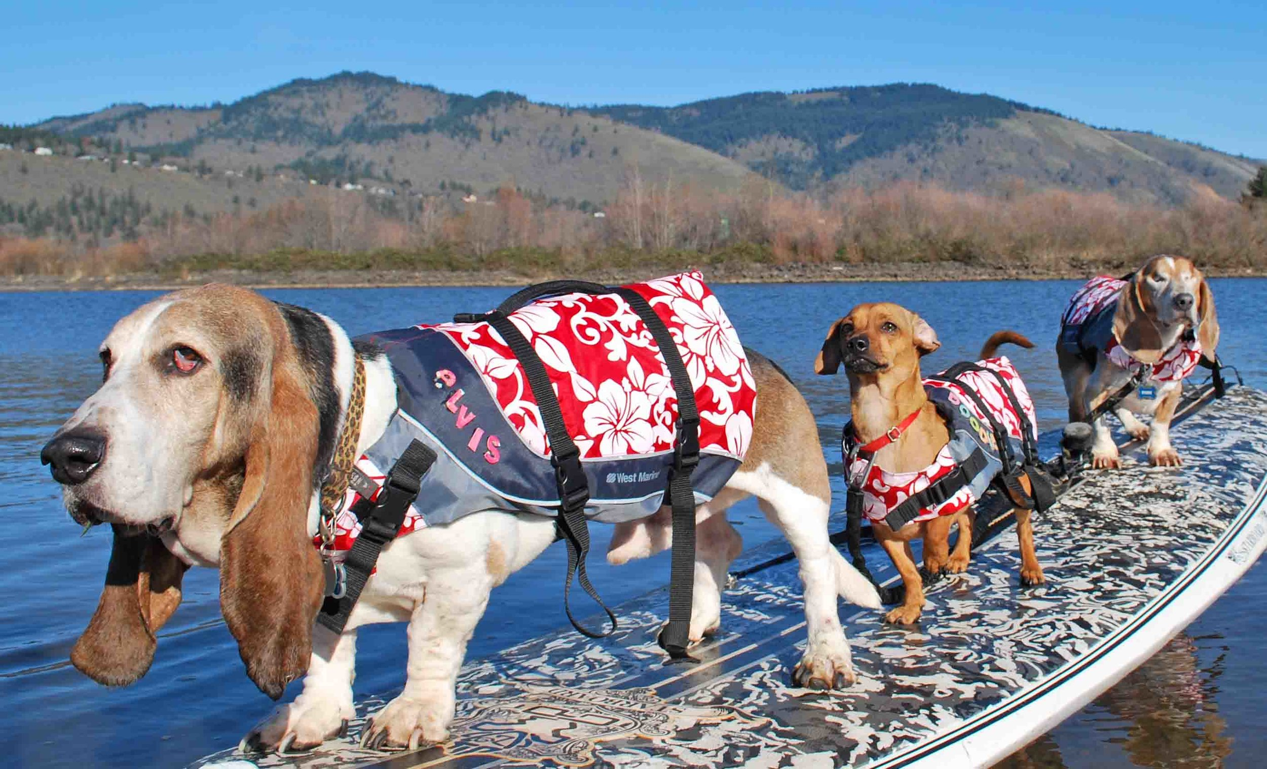 My 3 sons, SUP pups  on the Columbia River  (L to R): Elvis, Doodle, Dude                     (c) BarbAyers,wwwDogDiary.org