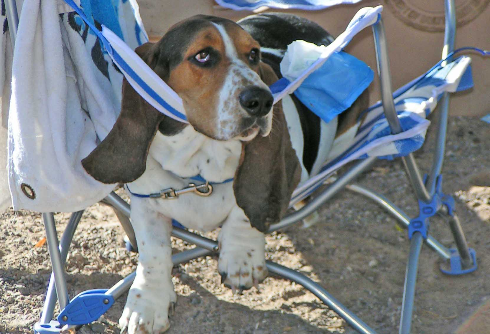Elvis, son of Howdy - on the first day I adopted him - camping at the Colorado River. On lawn chairs,he was a natural. On a surfboard- not so much. But he learned from the best - Howdy was king of Dog Beach.  Photo (c) Barb Ayers, DogDiary.org