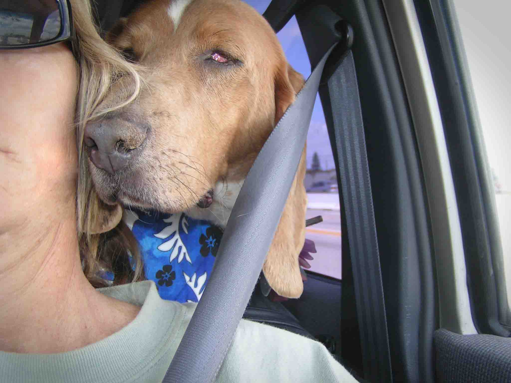 Dude in our first hour together - on the road home from adoption. His first name was Yardley.   He came with eye problems.  Photo (c) Barb Ayers, DogDiary.org