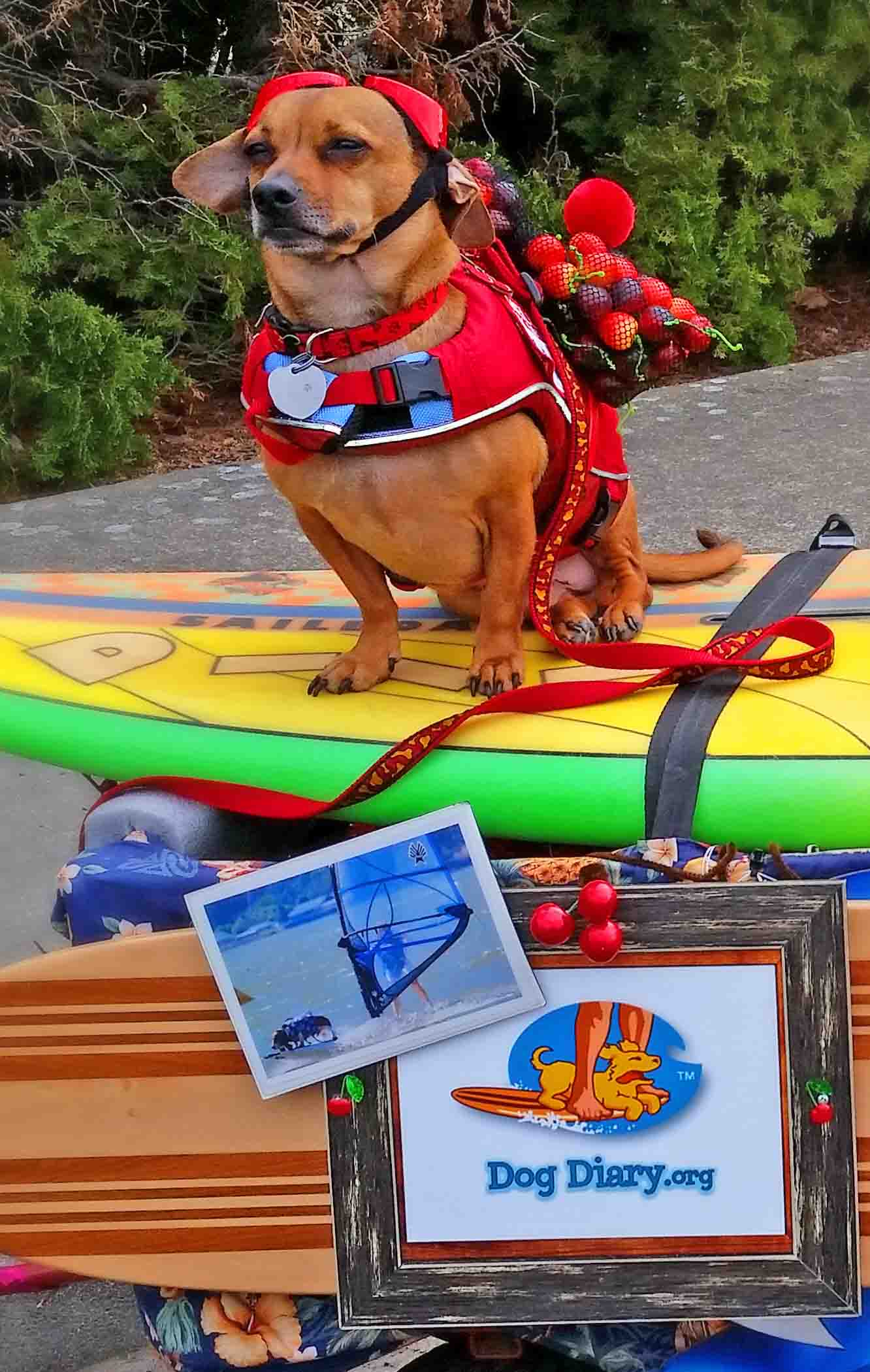 Doodle here, on my land board surfboard rig,  for parades and dog walks. Just like Howdy, Elvis and Dude did.           Photo: (c) Barb Ayers, DogDiary.org