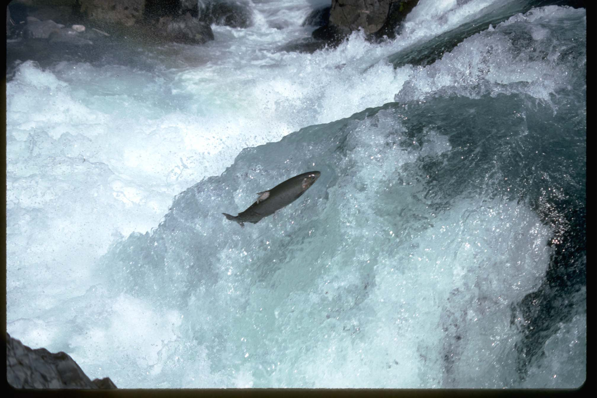 Salmon surfers - surf dogs and Oregonians at heart.   Photo: US Fish & Wildlife