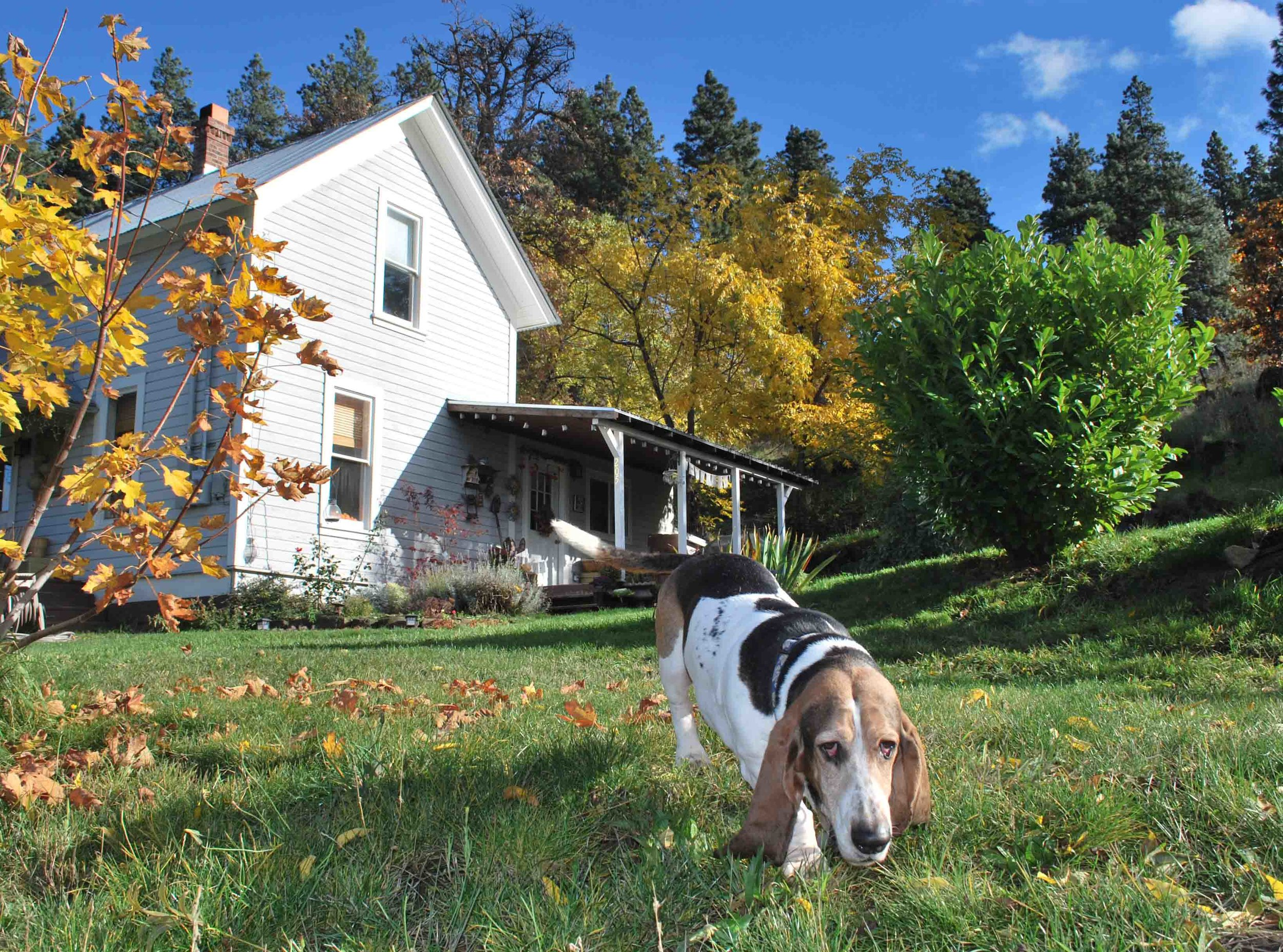 Elvis, my basset hound son in the yard. RIP old friend.Photo: (c) Barb Ayers, DogDiary.org