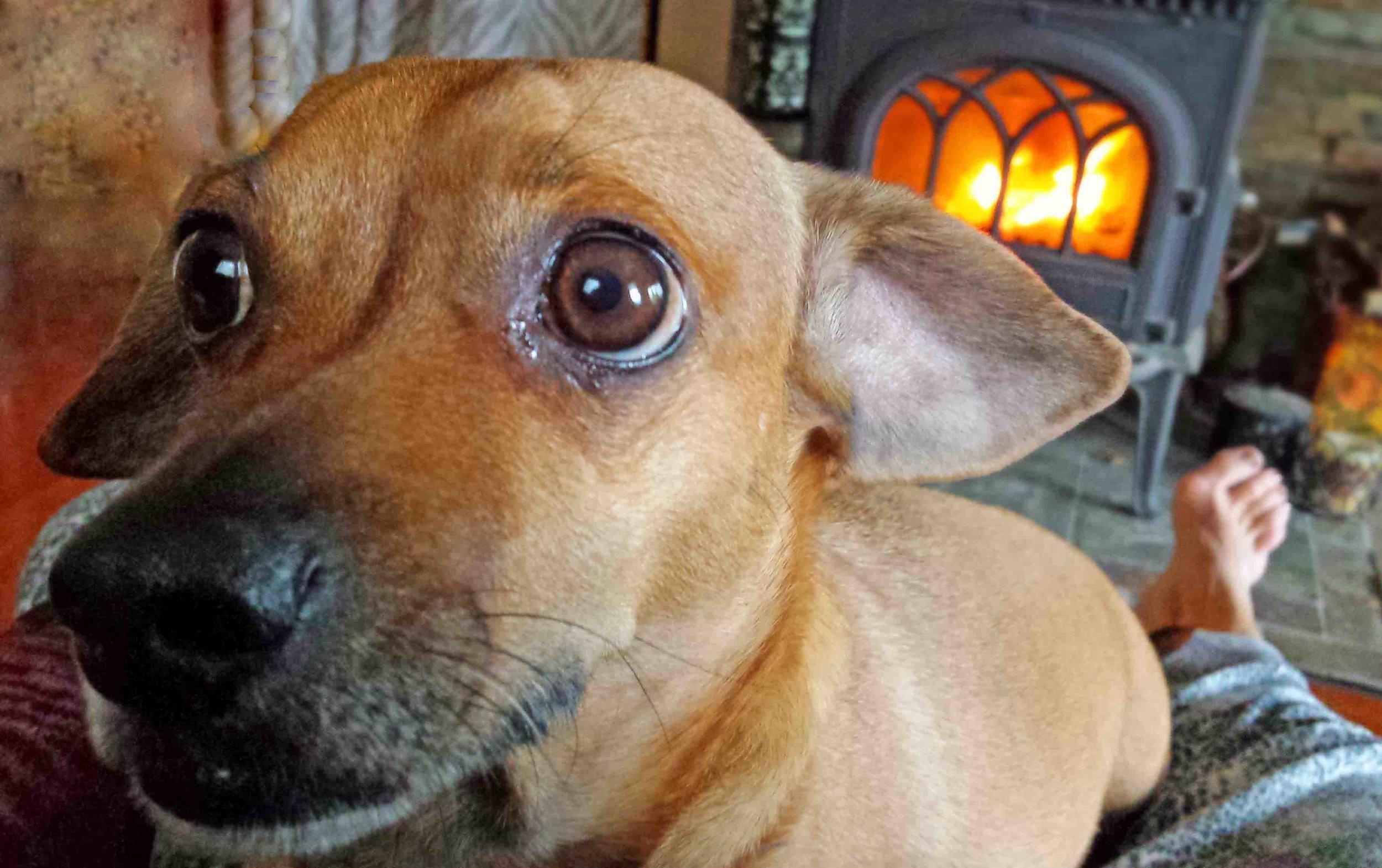 Doodle the lap dog, fireplace surfing.   Photo: (c) Barb Ayers, DogDiary.org
