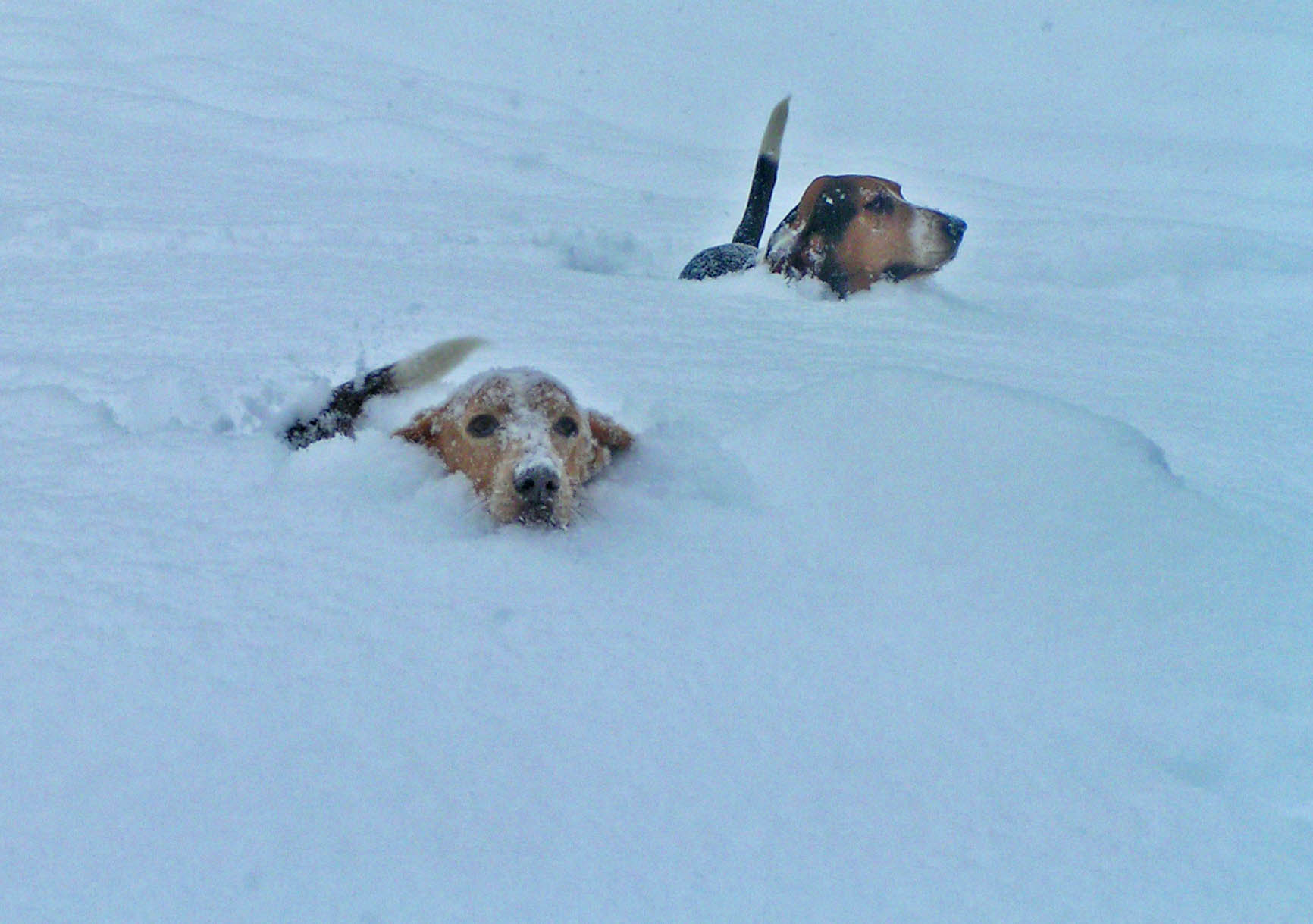 Dude on the left, Elvis on the right - surfing snow in the front yard, winter 2009. Photo: (c) Barb Ayers, DogDiary.org