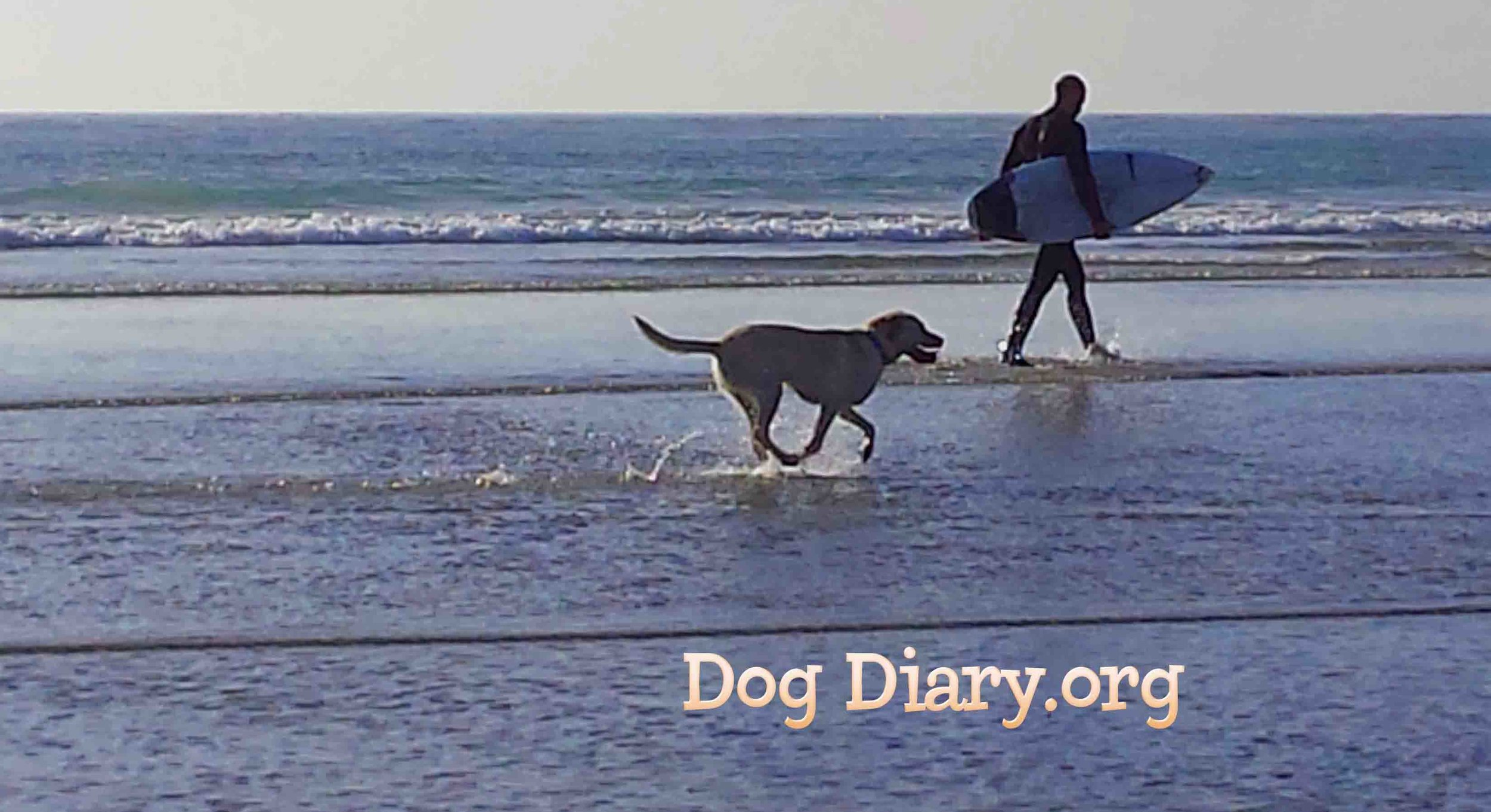 Dog Beach surf dogs - man and animal. Photo: (c) Barb Ayers, DogDiary.org