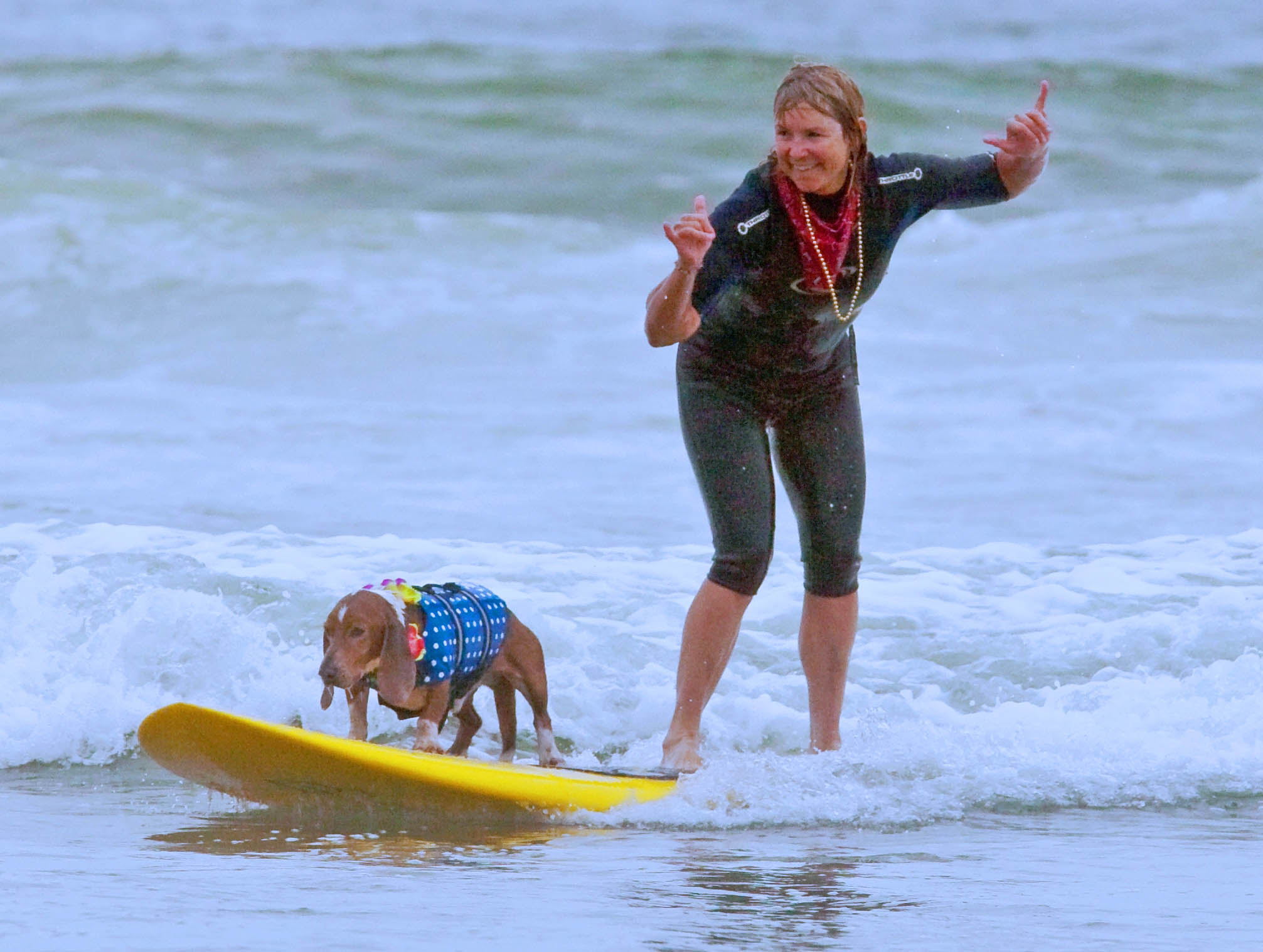 Surf Dog Diaries basset #3 Dude rode waves for years with his mom He learned from Howdy.     Photo: (c) Barb Ayers, DogDiary.org