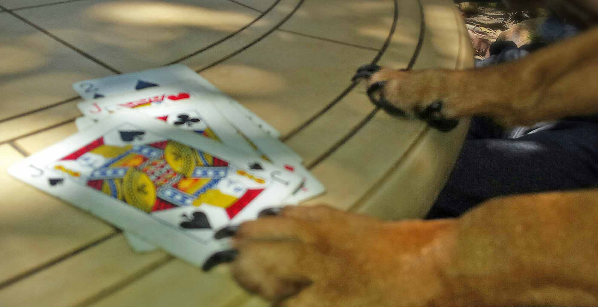 Doodle, top dog, of the Ayers family card game.       Photo: (c) Barb Ayers, DogDiary.org