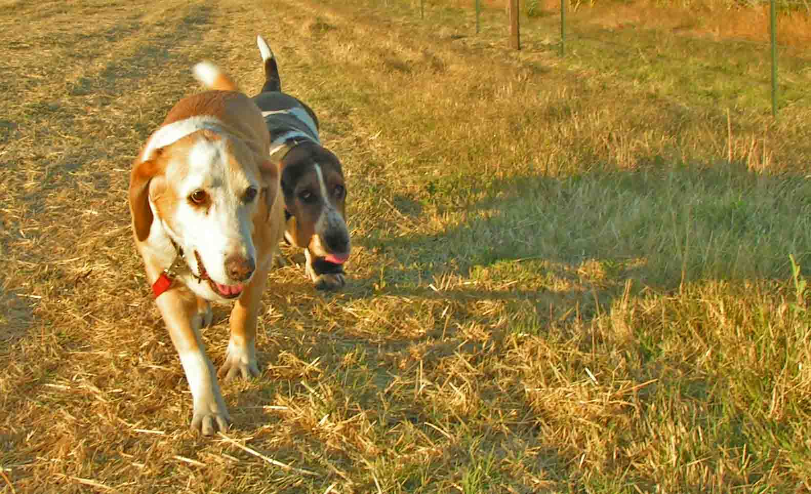 Elvis always walked in Howdy's shadow.  Photo: (c) Barb Ayers, DogDiary.org