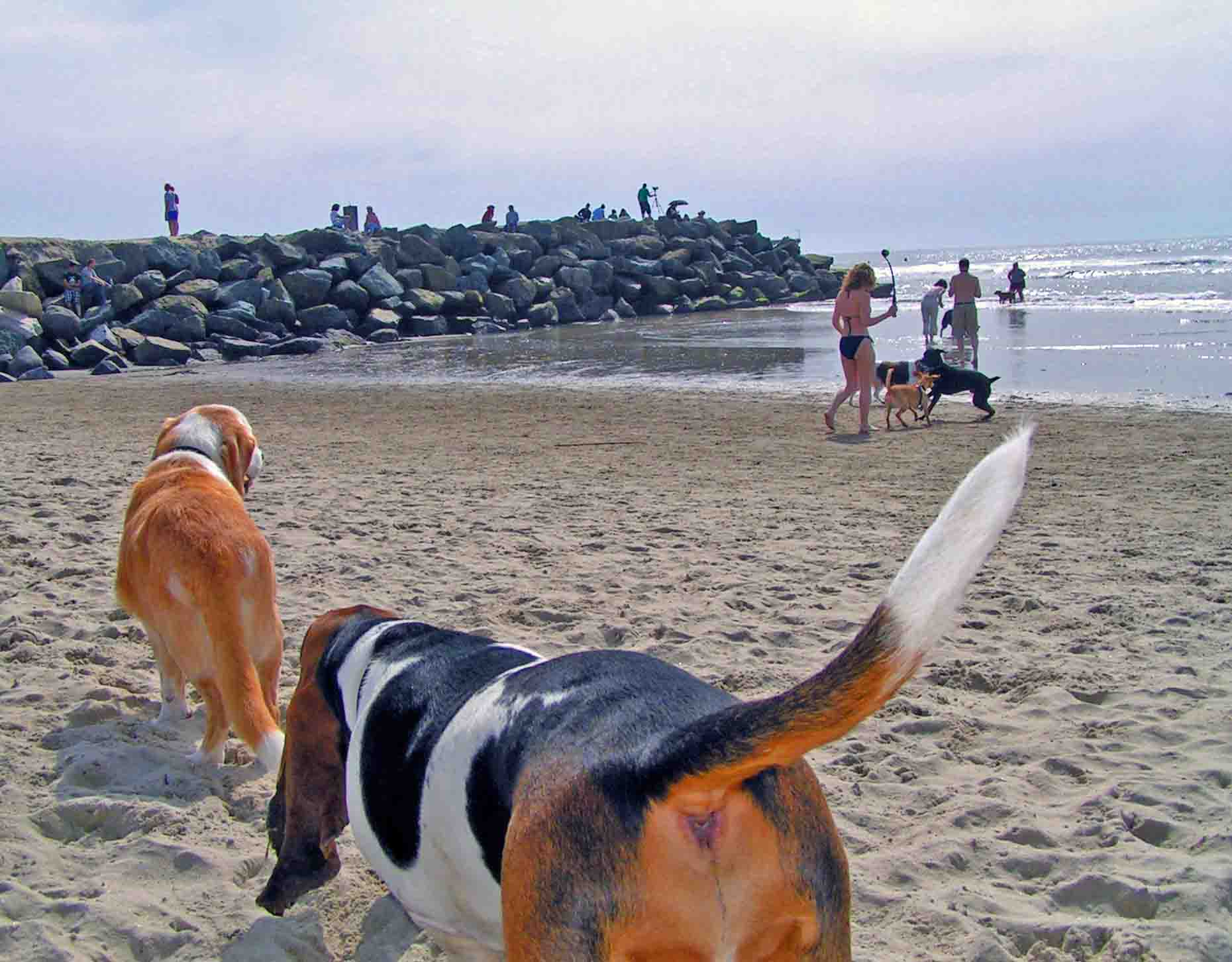 Howdy and Elvis at Dog Beach. Elvis always following behind. Circa 2004. Howdy was the first of four generations of surf dogs in our family.  Photo: (c) Barb Ayers, DogDiary.org