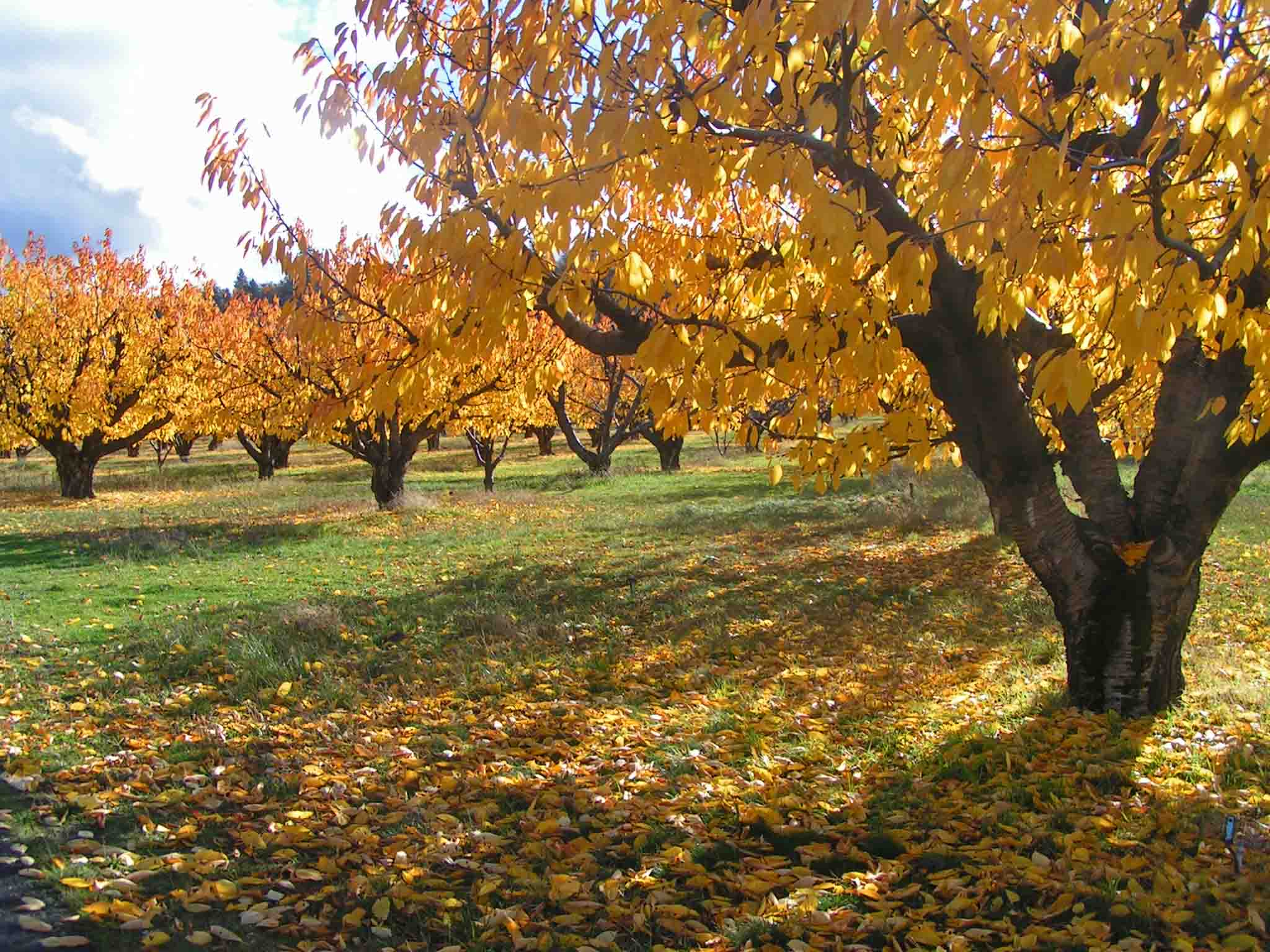 Fall bounty  - the surrender of leaves and the farmers harvest. So much to be thankful for. The orchards around the bend of our road- the Historic Columbia River Highway, near Mosier, OR. Photo: (c) Barb Ayers, DogDiary.org