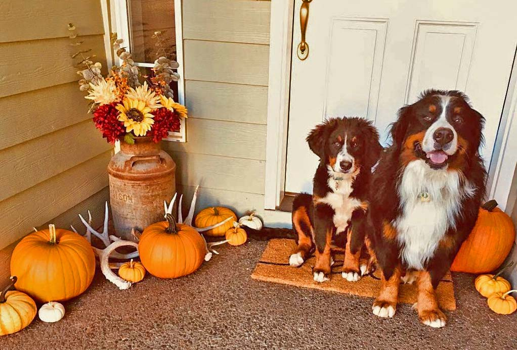 Welcome home!    Bernese Mountain Dogs trick or trea t. Sweet grand dogs of our Oregonian friend Chris Fitzsimmons. Puppy is Demi at four and a half months and full grown brother Zeus. Photo by dog mom Marnie Fitzsimmons.