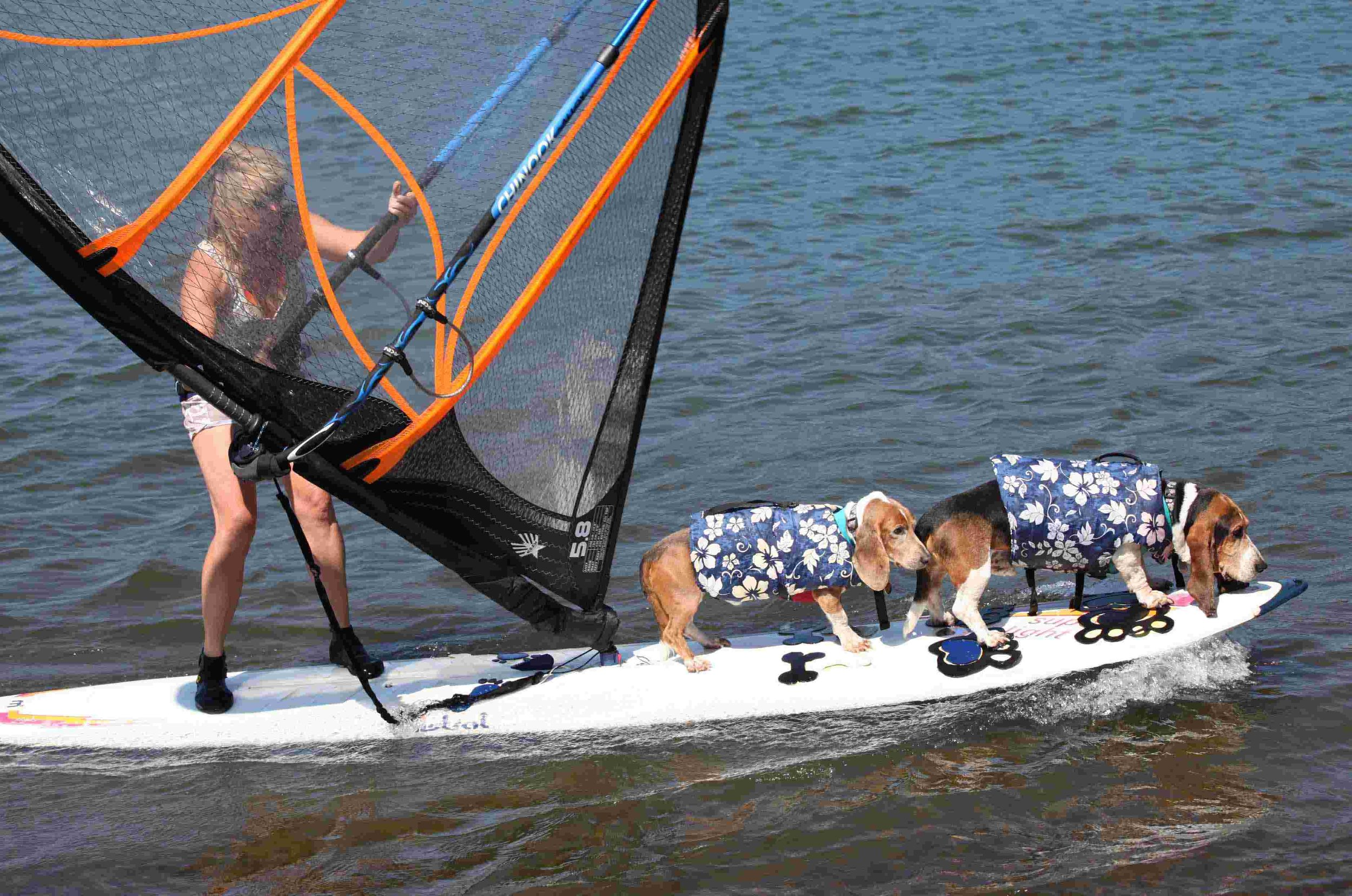 """My dogs, Dude and Elvis and my person, (She,) actual name Barb Ayers, windsurfing the Columbia River. This is a """"2 dog jibe"""" - a double dog downwind turn on an old school windsurfing longboard. In this photo, Dude still had eyes. Photo: (c) Barb Ayers, DogDiary.org"""