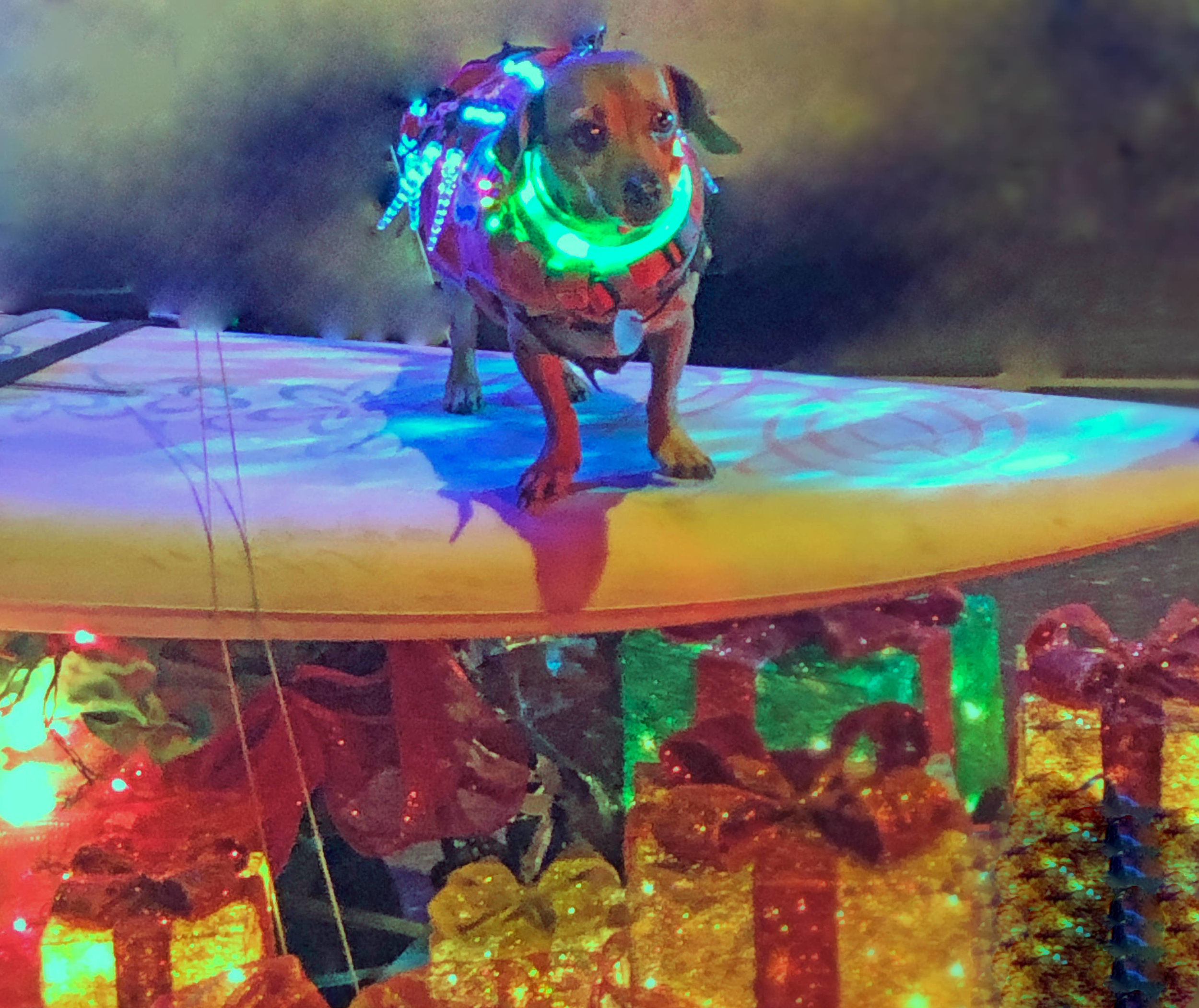 My dog son, surf doxie Doodle, and his rad rig. Photo: (c) Barb Ayers, DogDiary.org