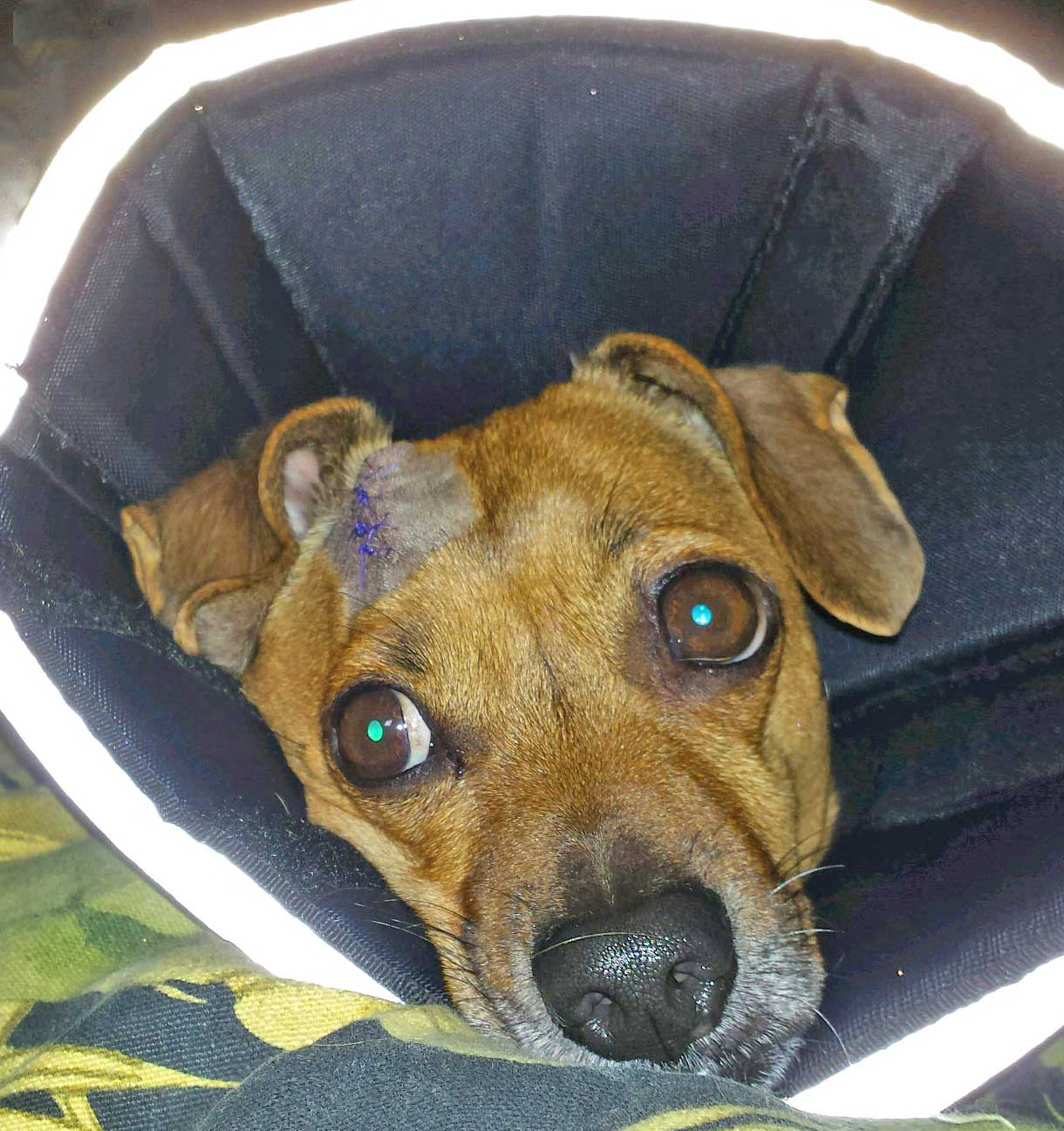 Doodle post surgery. Photo: (c) Barb Ayers, DogDiary.org