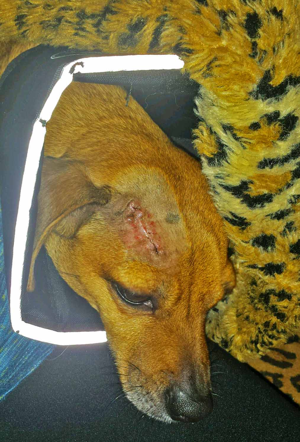 OWWW!!!! Poor baby! Brain zipper healing, but hard to look at. Photo: (c) Barb Ayers, DogDiary.org