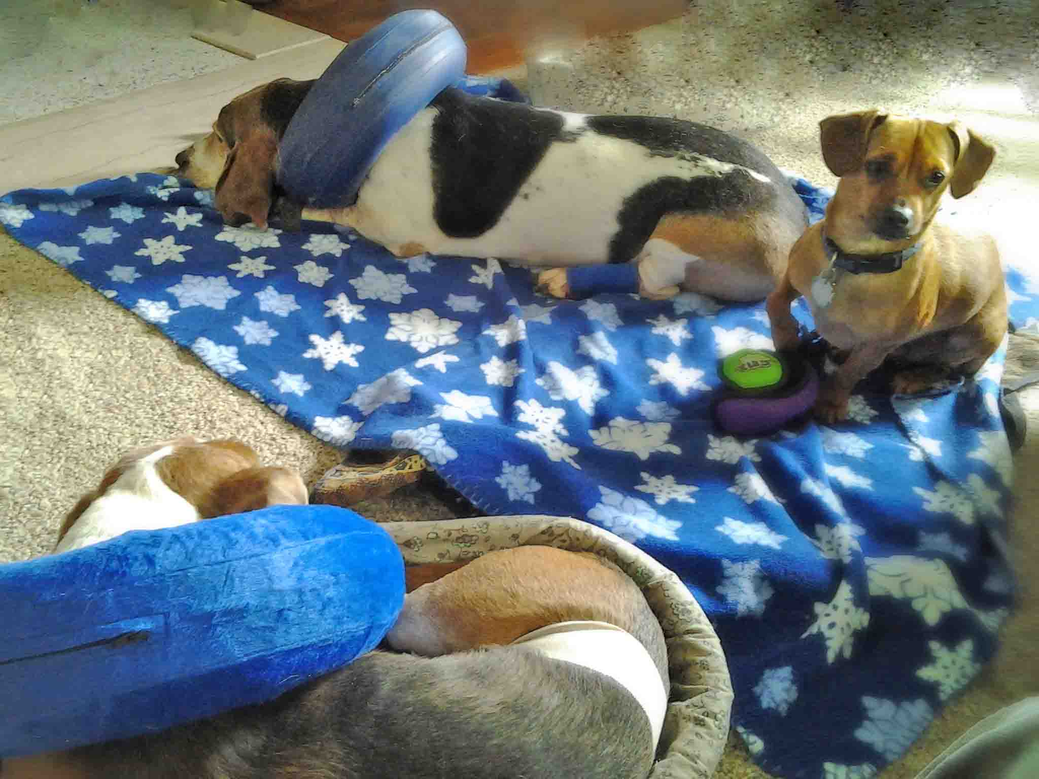 Twin bassets Elvis n Dude with double donuts. The new cone, with less shame. But it only works when you don't have a head injury. Doodle here is working on his therapy dog skills a few years ago. Photo: (c) Barb Ayers, DogDiary.org
