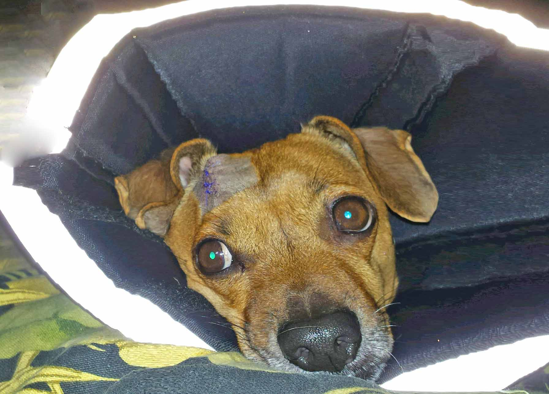 Doodle and the cone, a week after after head surgery- his eyes were back to normal. Photo: (c) Barb Ayers, DogDiary.org