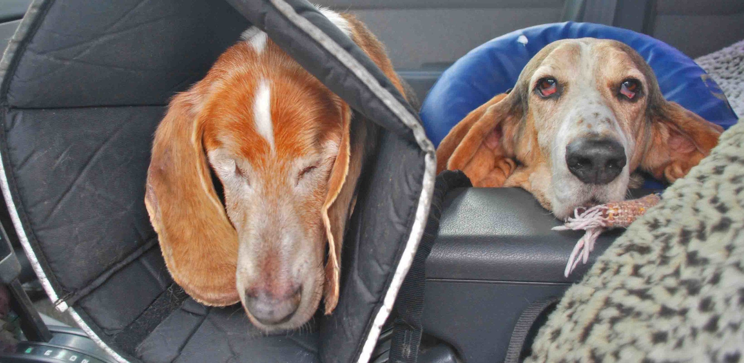 Doodle's brothers Dude and Elvis a few years back after they had tandem surgeries. Photo: (c) Barb Ayers, DogDiary.org